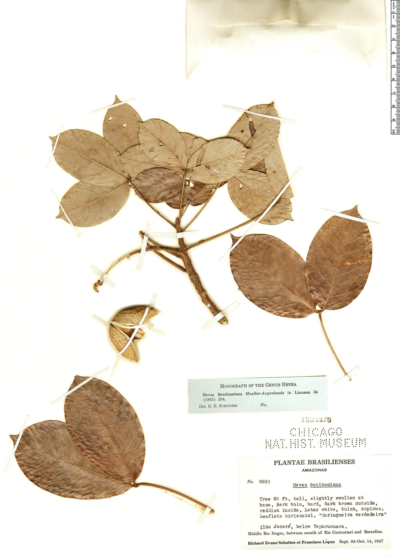 Espécimen: Hevea benthamiana