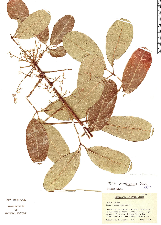Specimen: Hevea camargoana