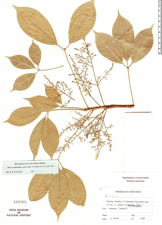 Specimen: Hevea guianensis