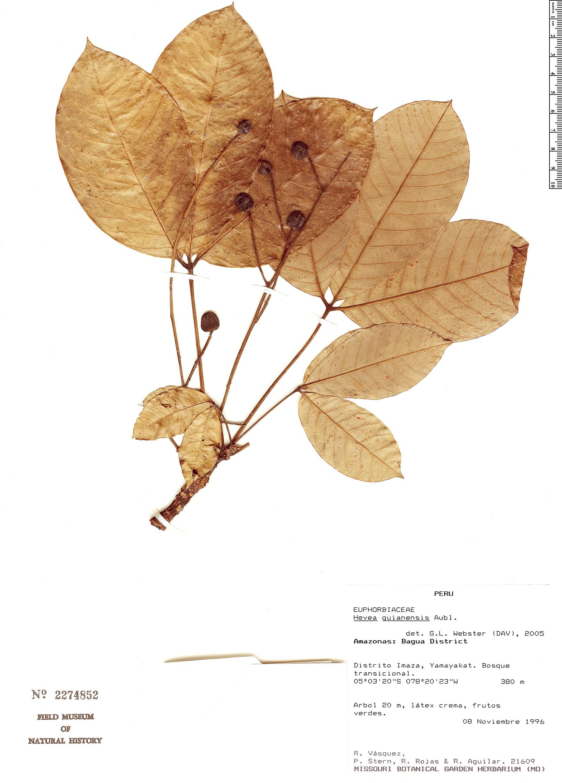 Espécimen: Hevea guianensis