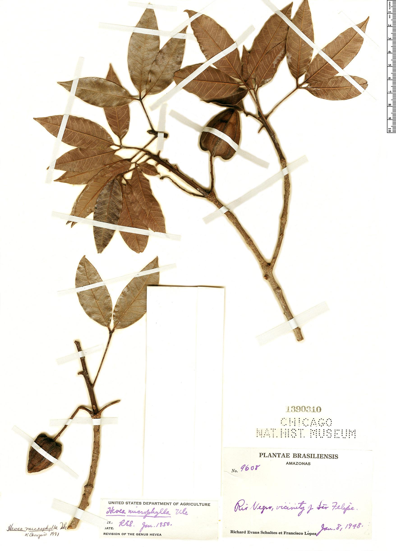 Specimen: Hevea microphylla