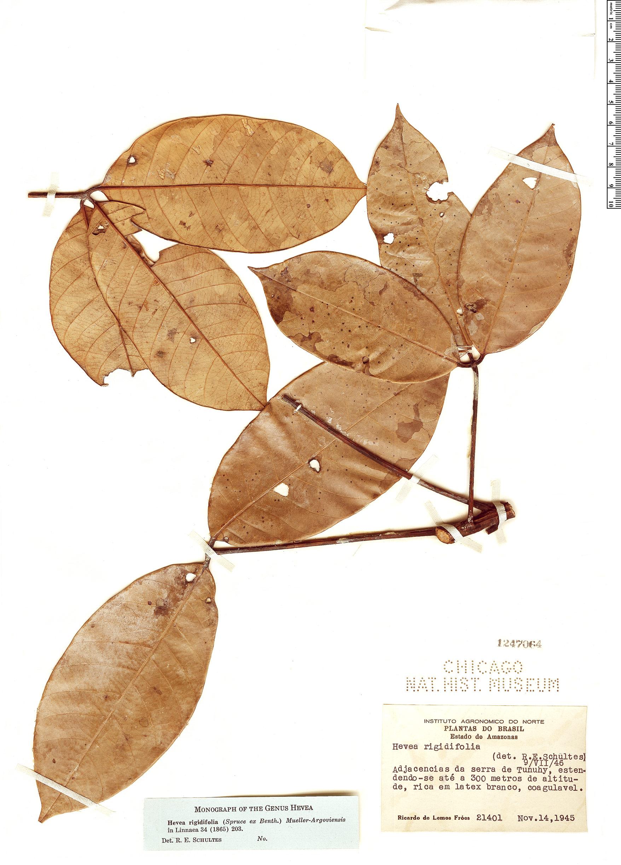 Specimen: Hevea rigidifolia