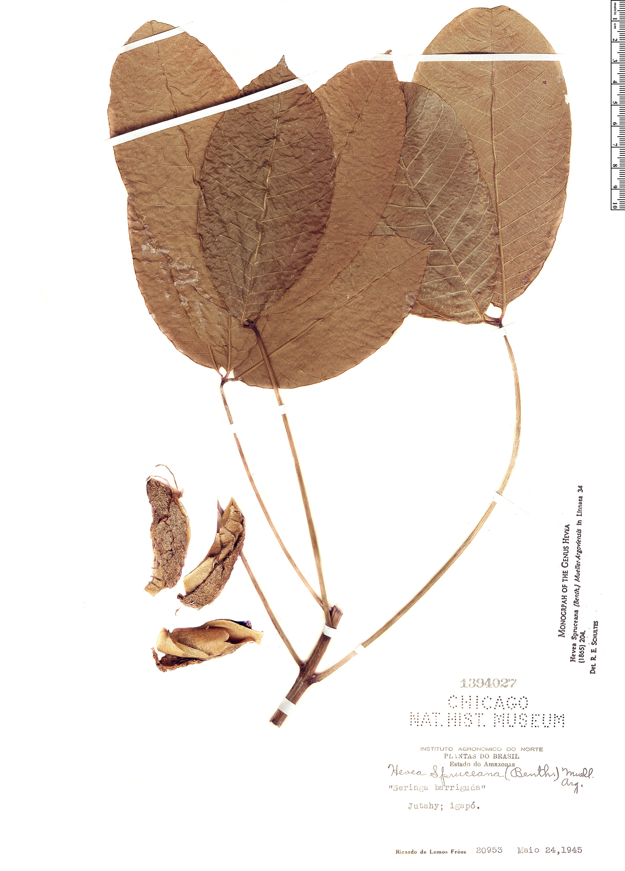 Specimen: Hevea spruceana