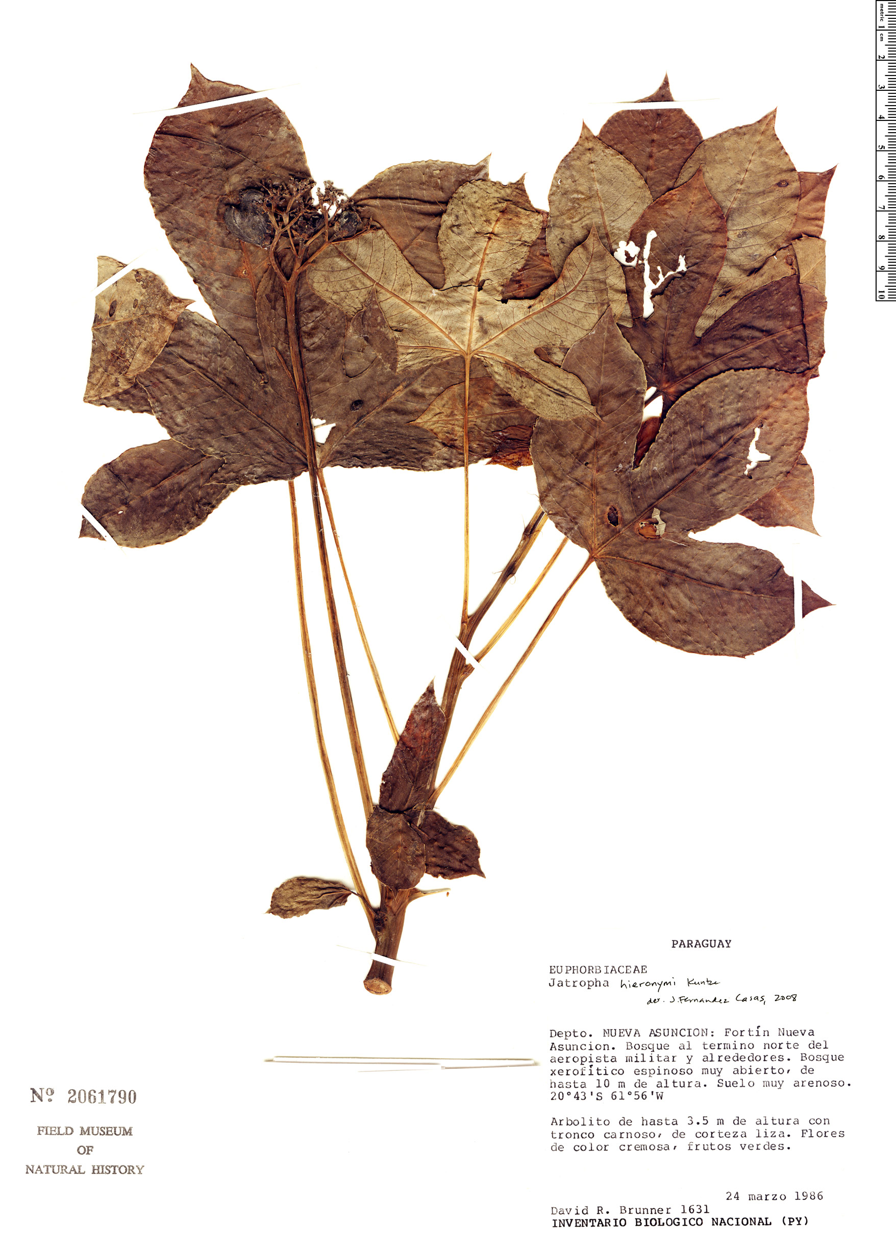 Specimen: Jatropha hieronymi
