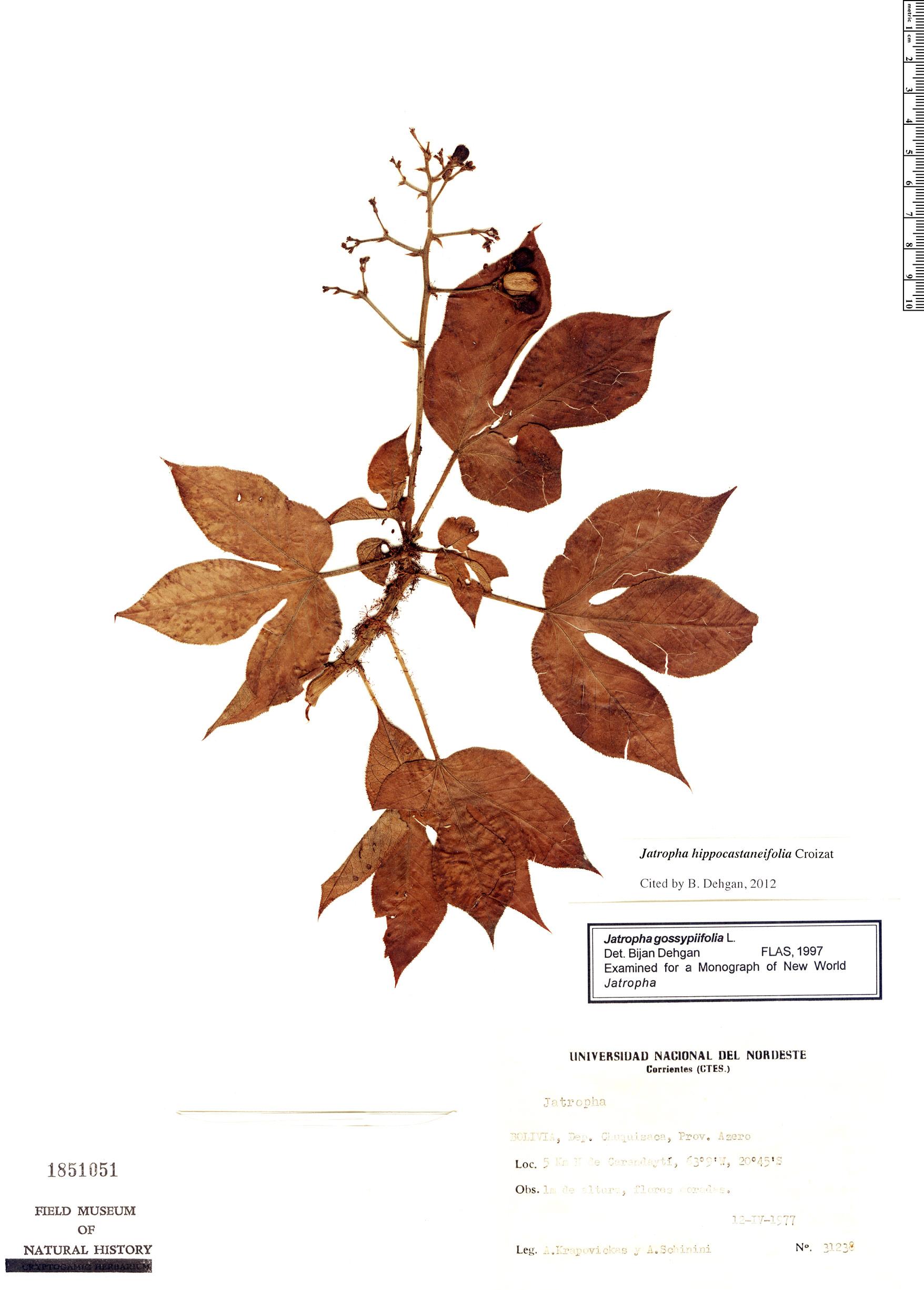 Specimen: Jatropha hippocastanifolia