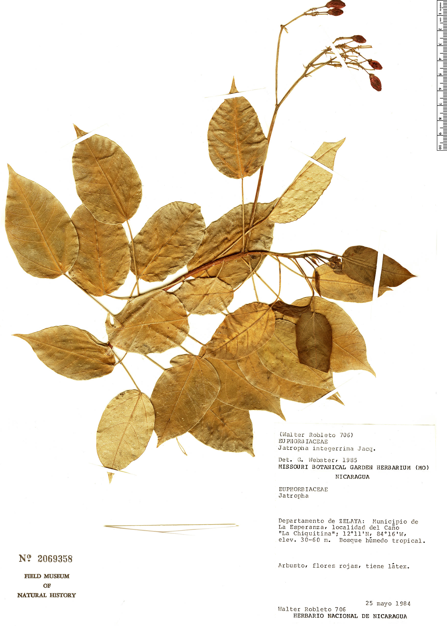 Espécimen: Jatropha integerrima