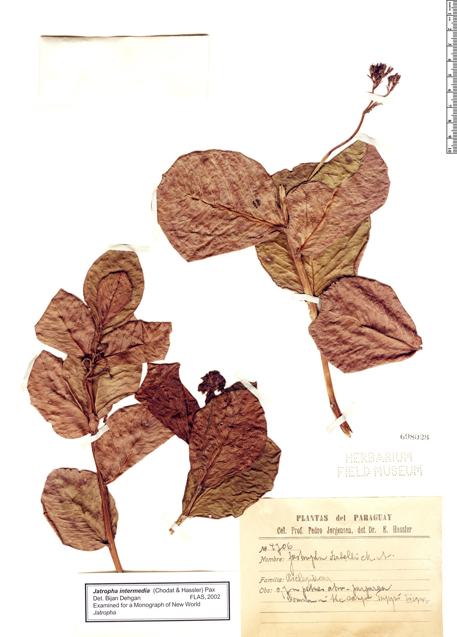 Specimen: Jatropha intermedia