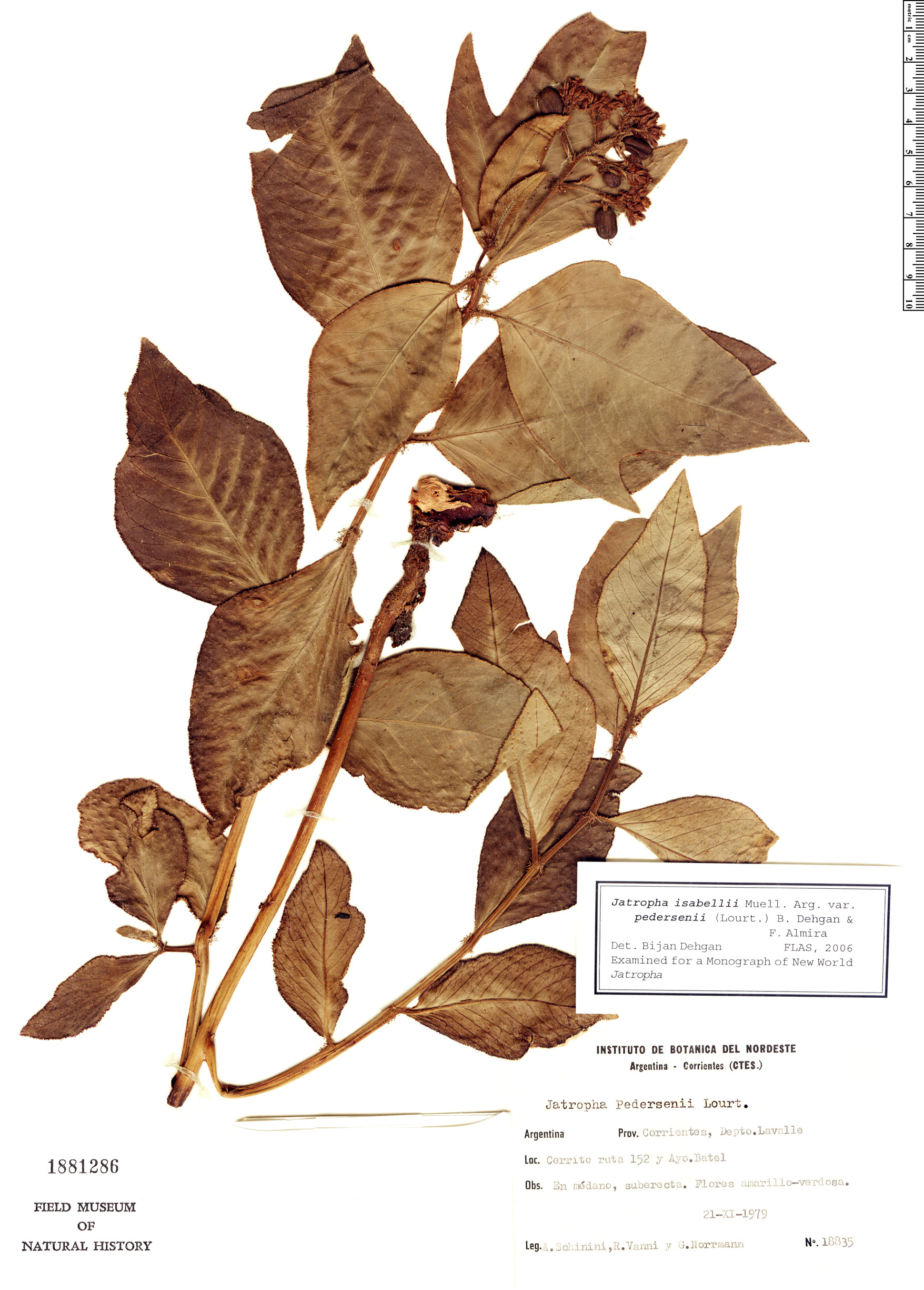 Specimen: Jatropha pedersenii