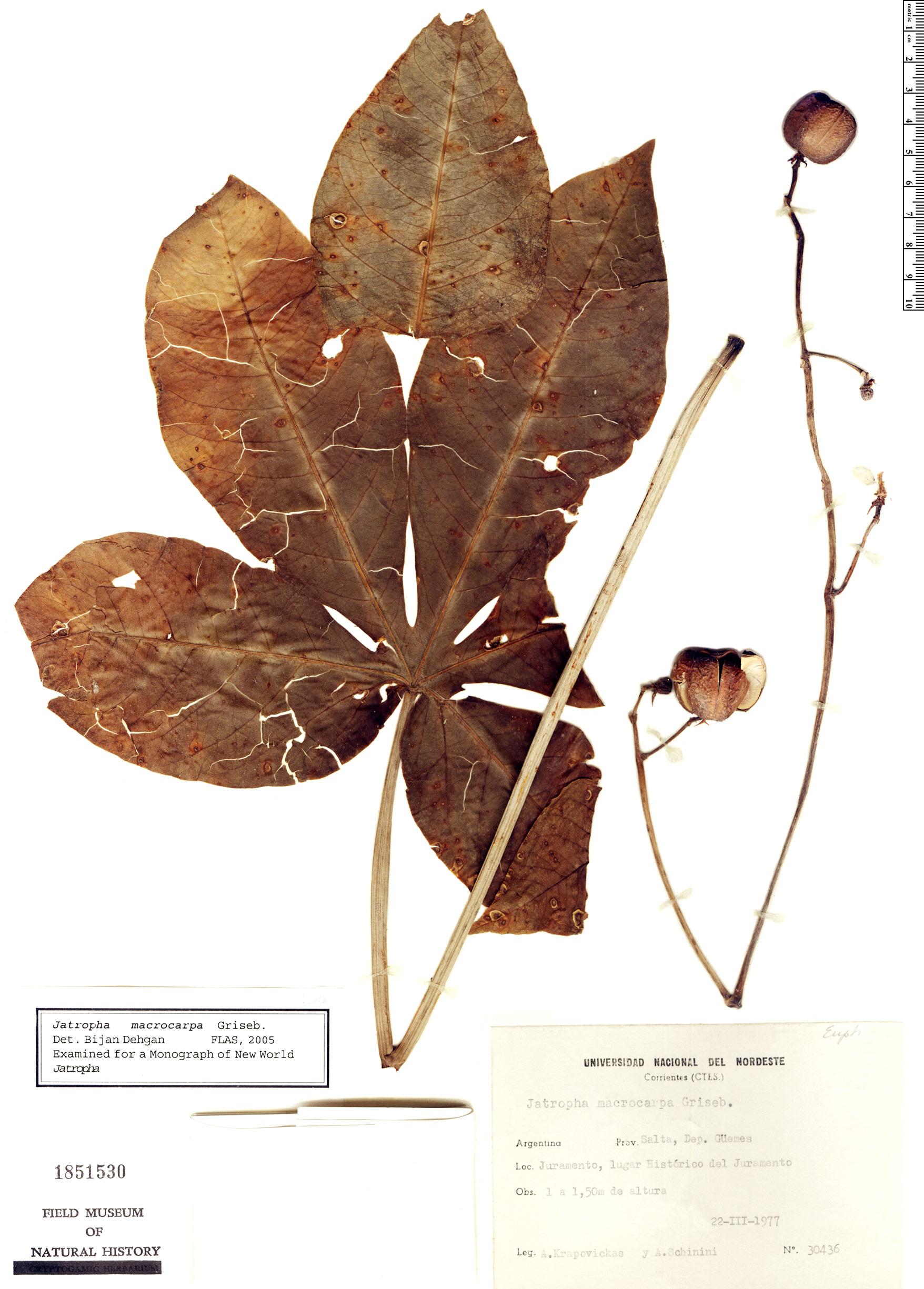 Specimen: Jatropha macrocarpa
