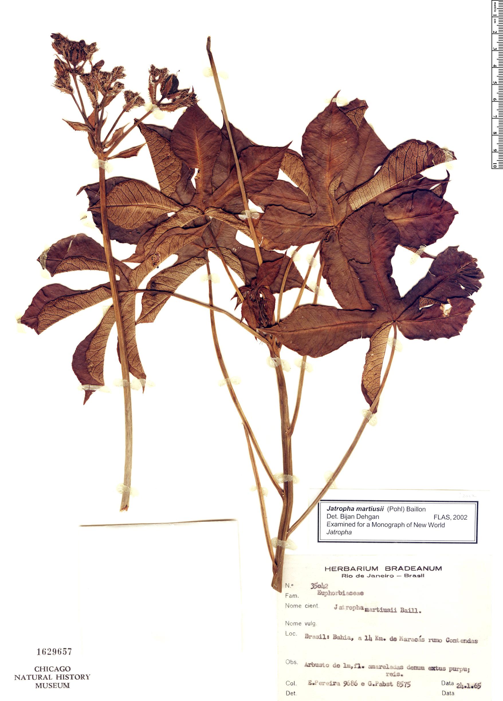 Specimen: Jatropha martiusii