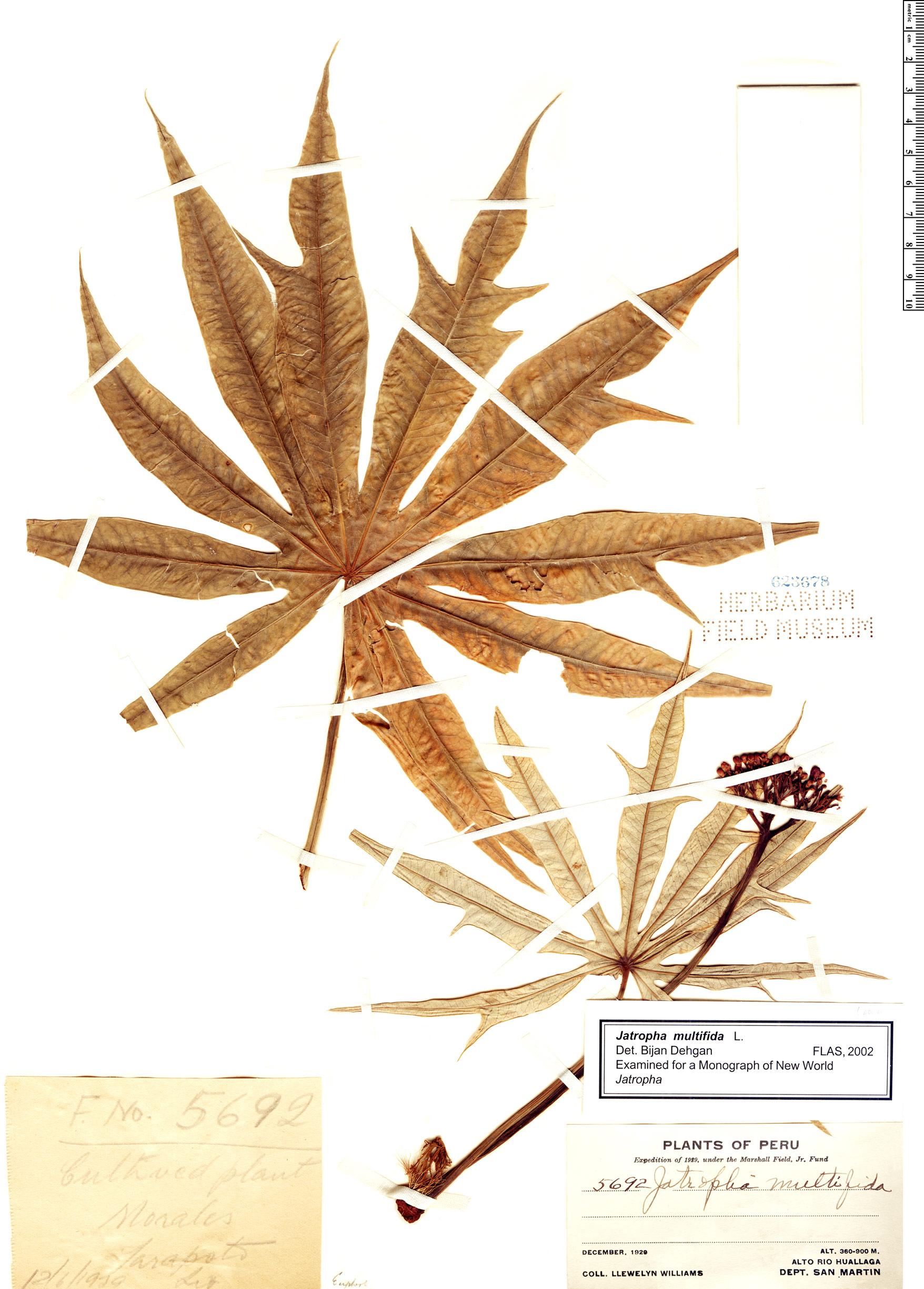 Specimen: Jatropha multifida
