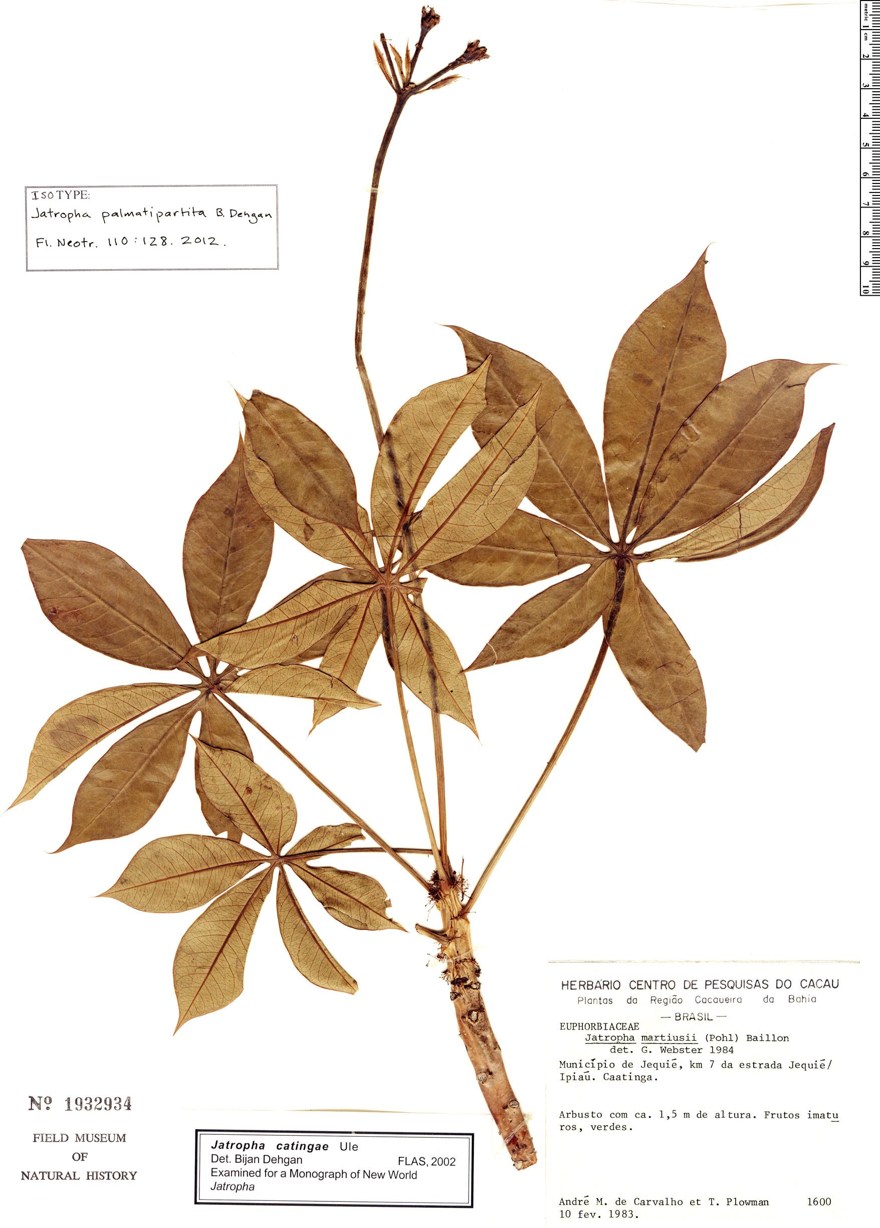 Specimen: Jatropha palmatipartita