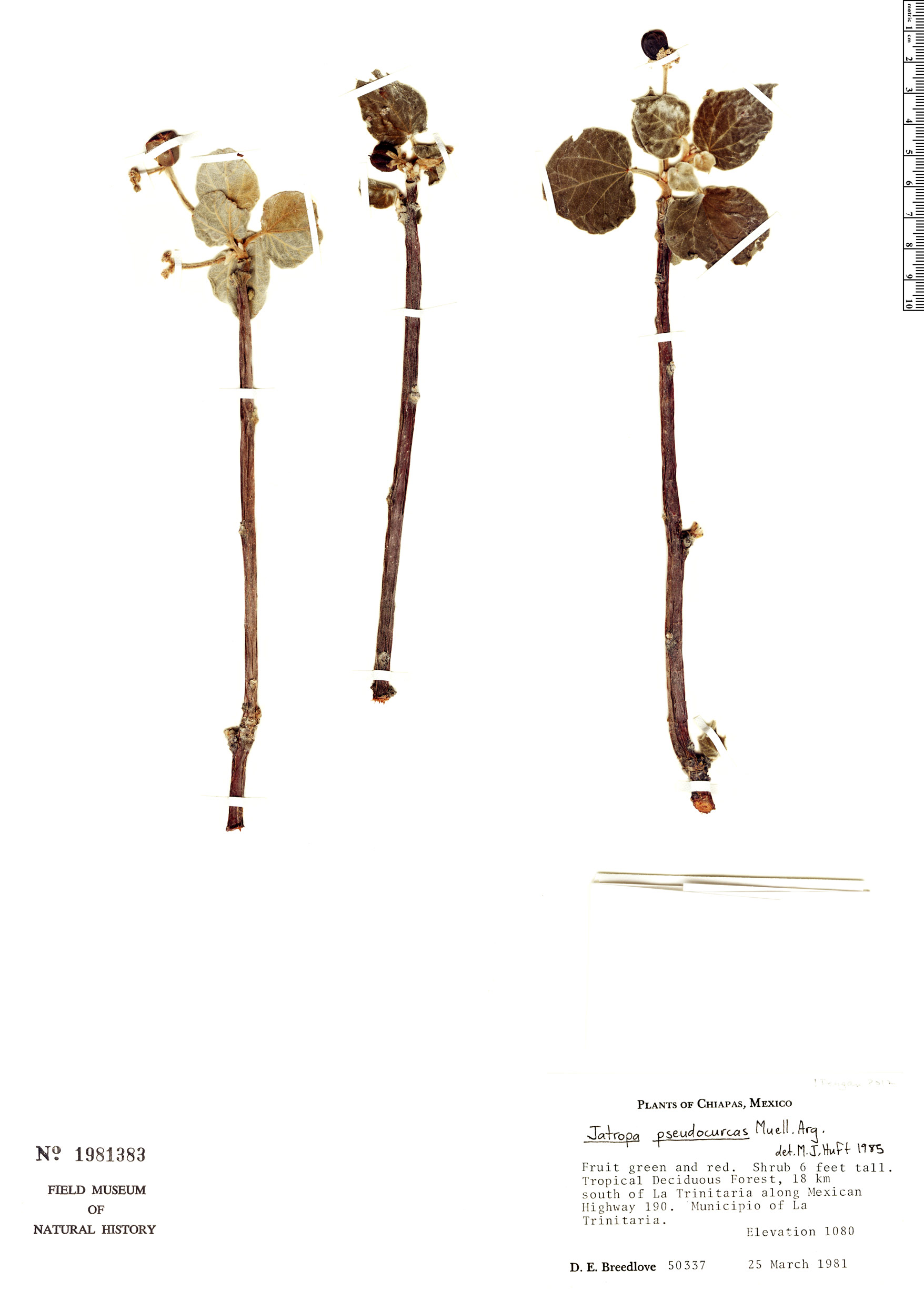 Specimen: Jatropha pseudocurcas