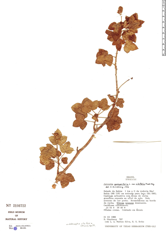 Specimen: Jatropha ribifolia
