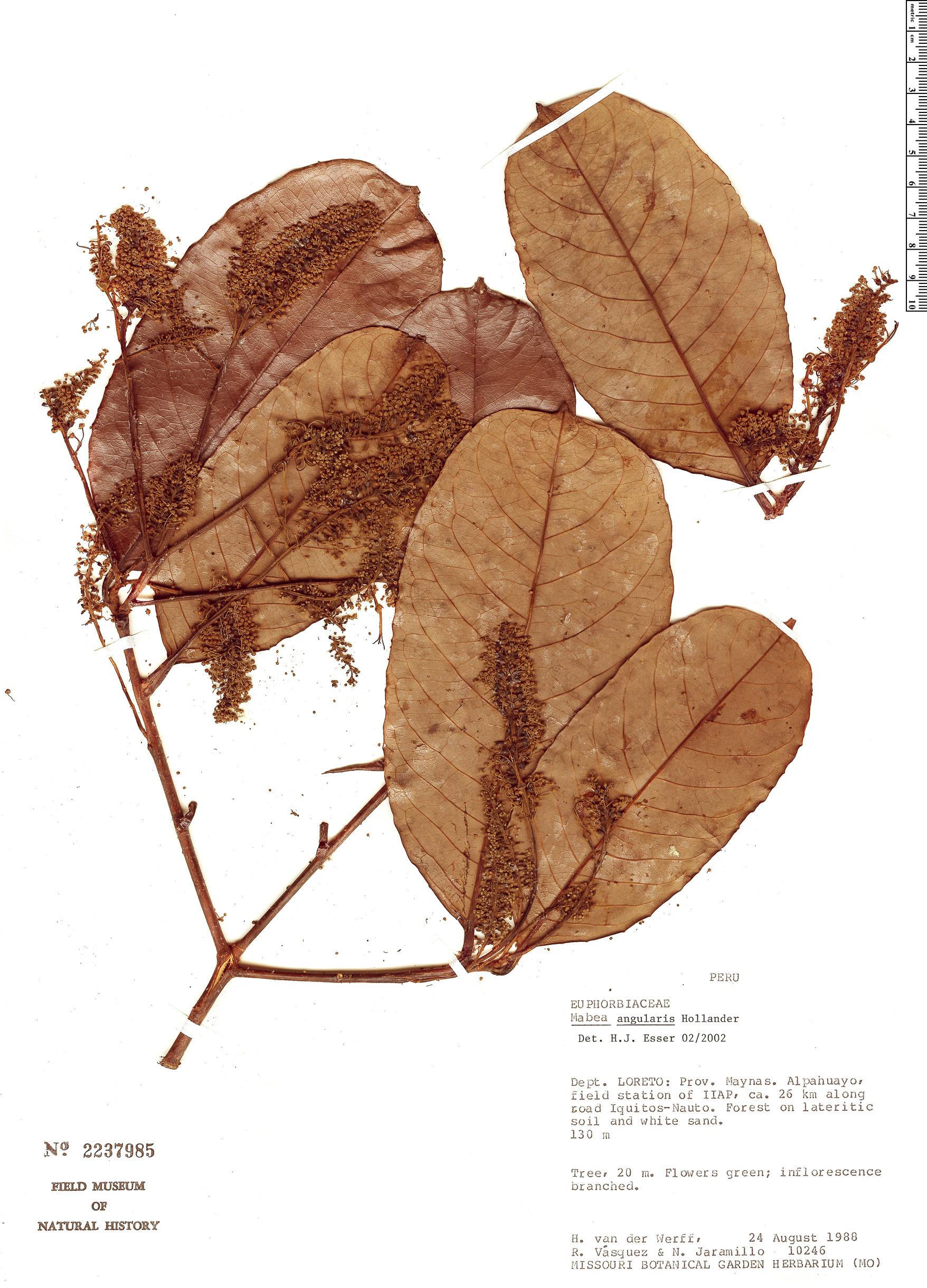 Specimen: Mabea angularis