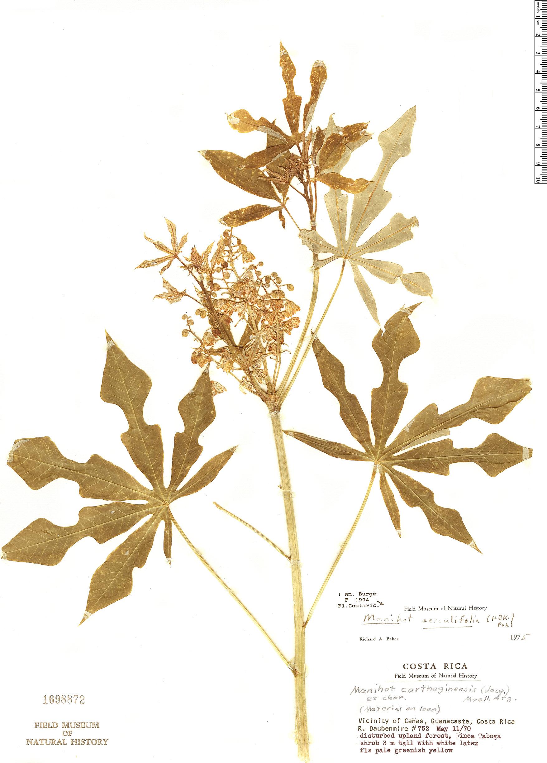 Specimen: Manihot aesculifolia
