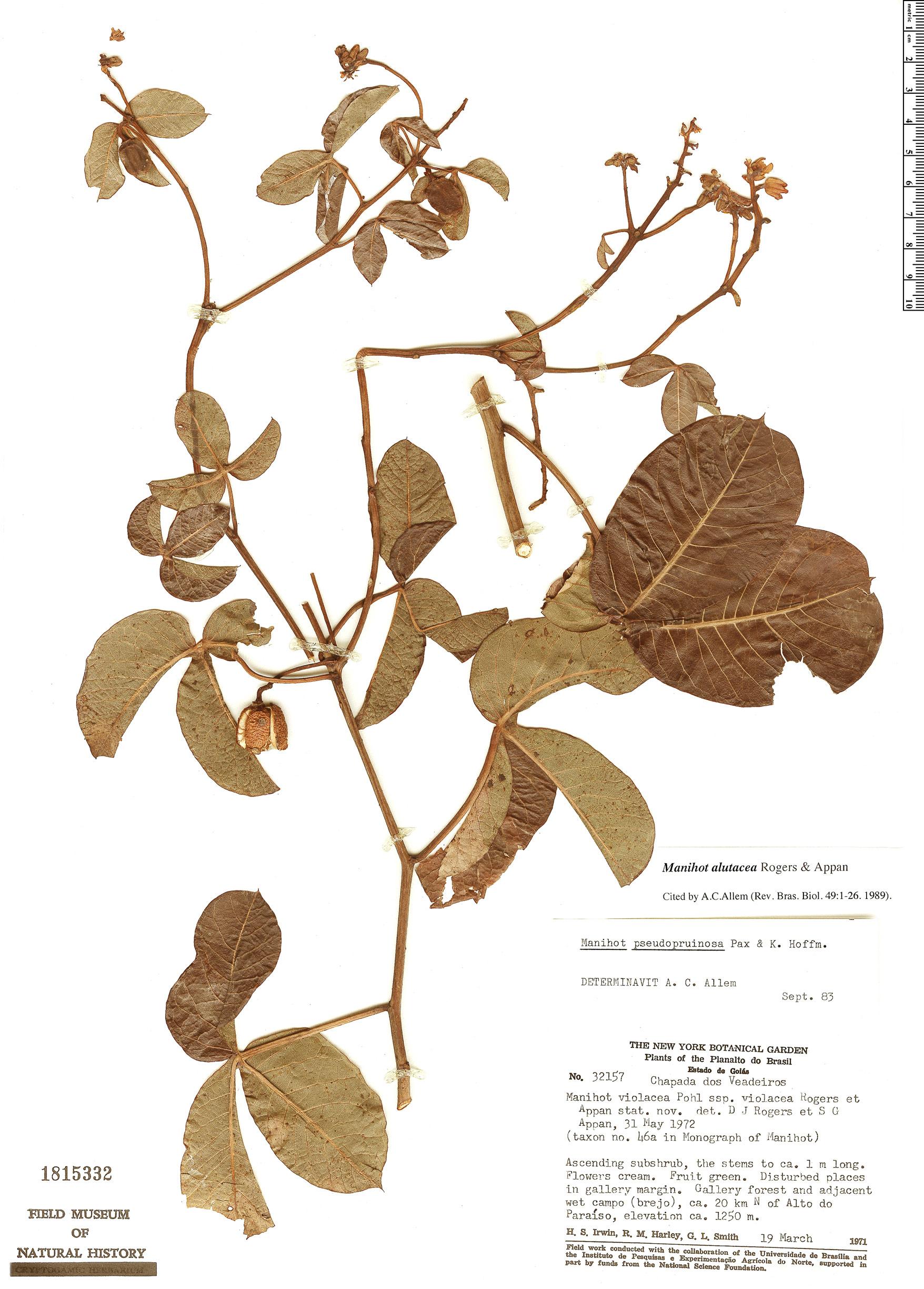 Specimen: Manihot alutacea