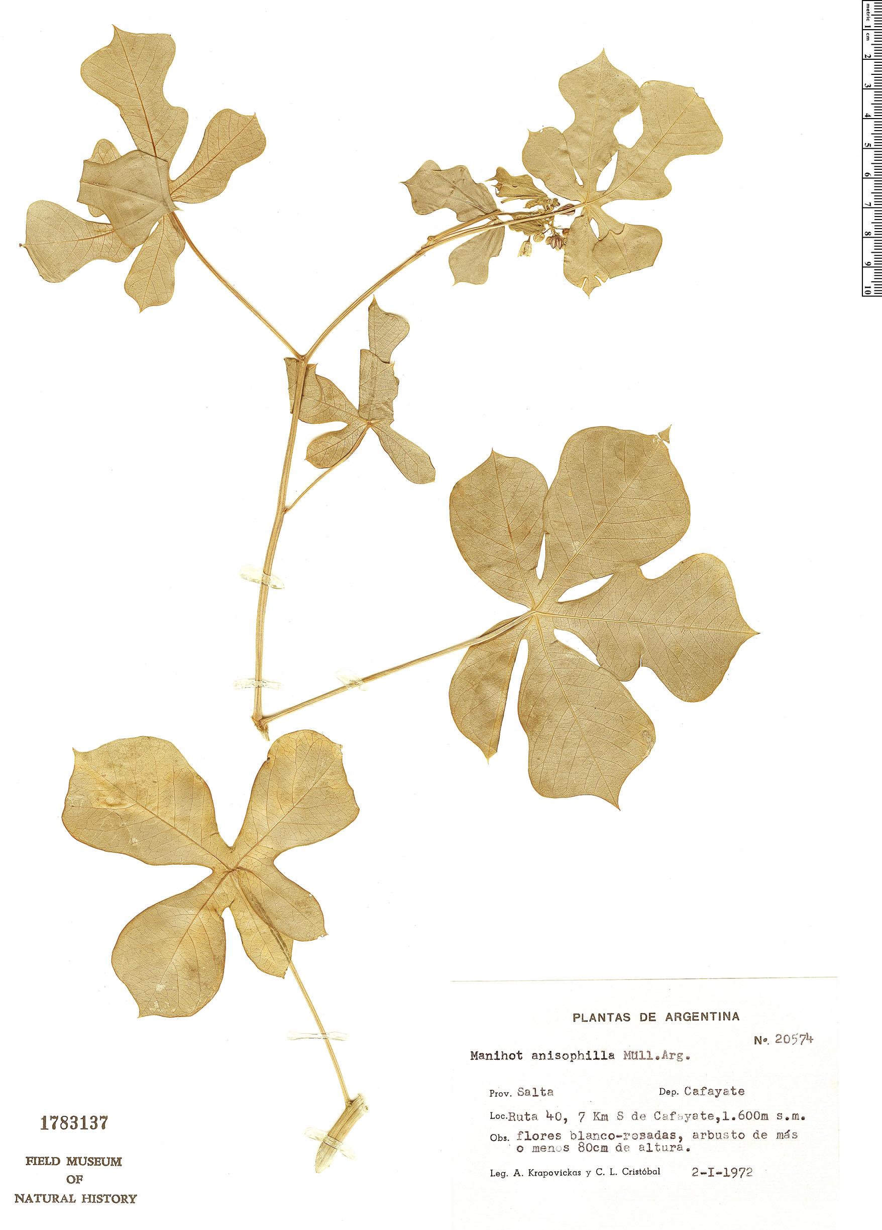 Specimen: Manihot anisophylla