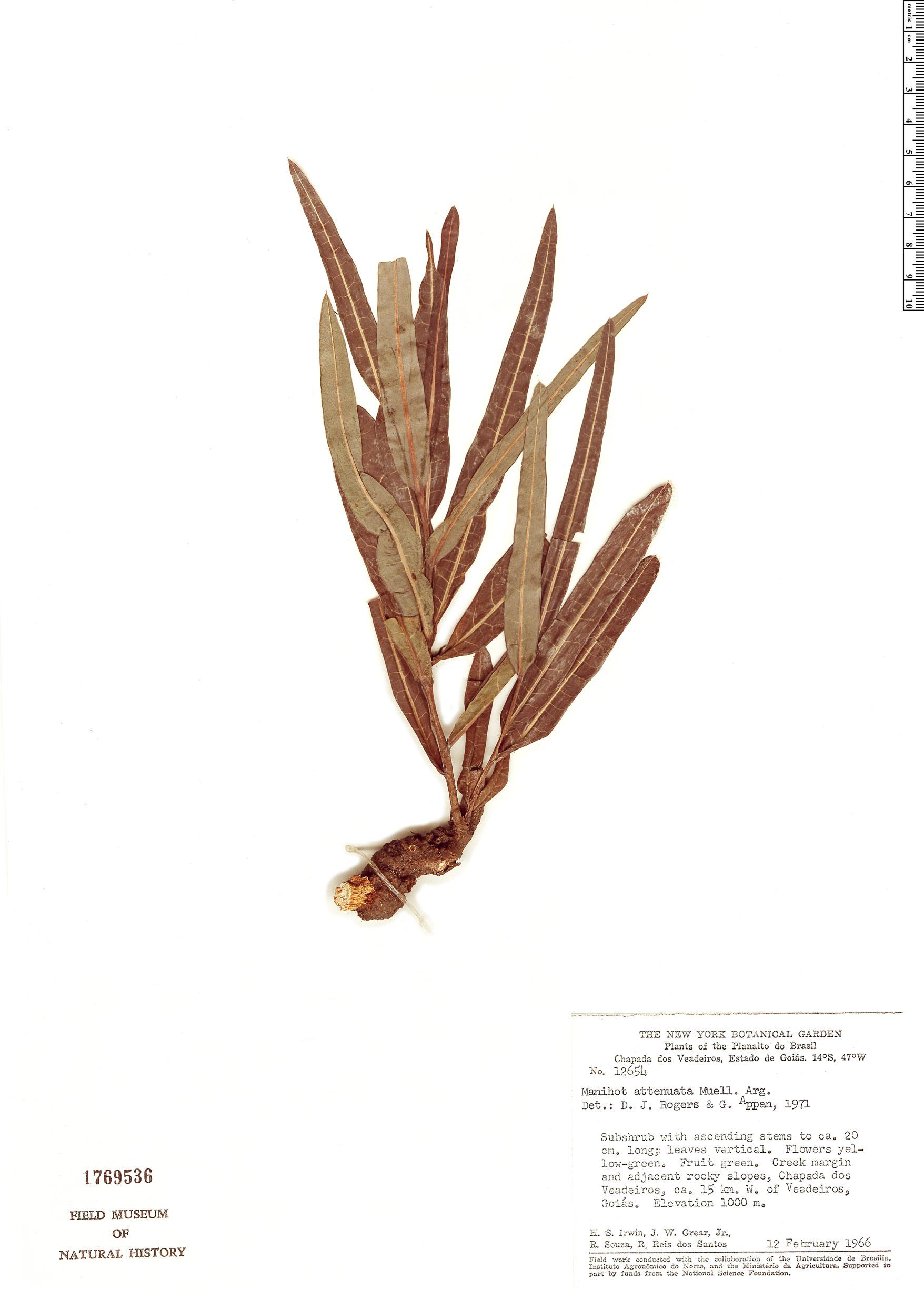 Specimen: Manihot attenuata