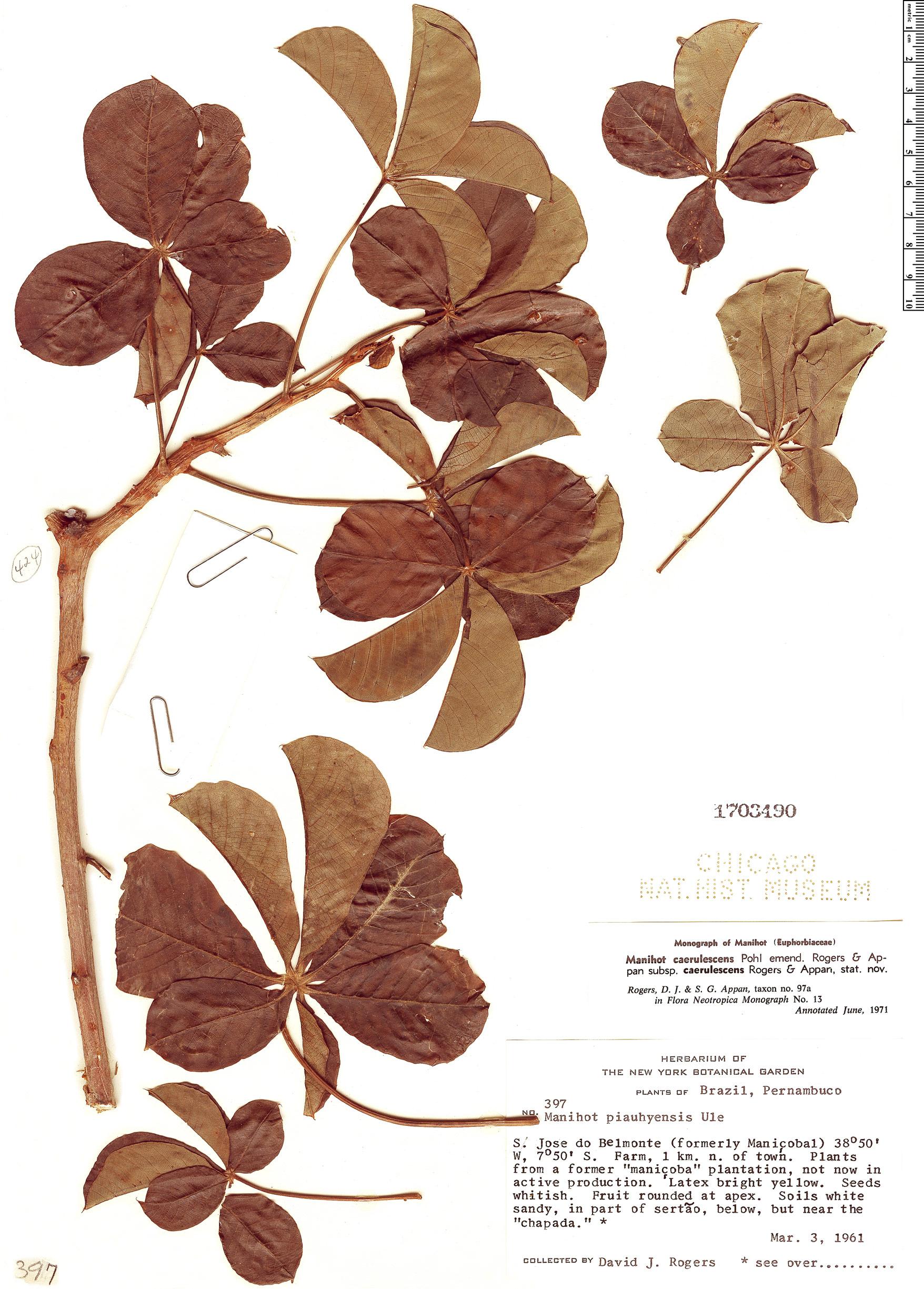 Specimen: Manihot caerulescens