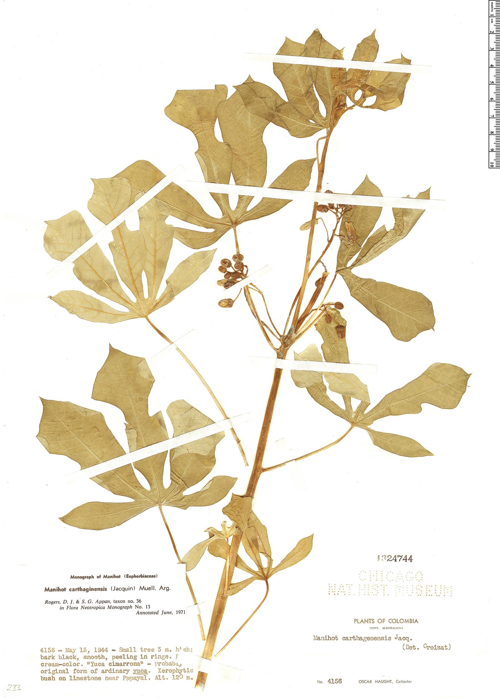 Specimen: Manihot carthagenensis