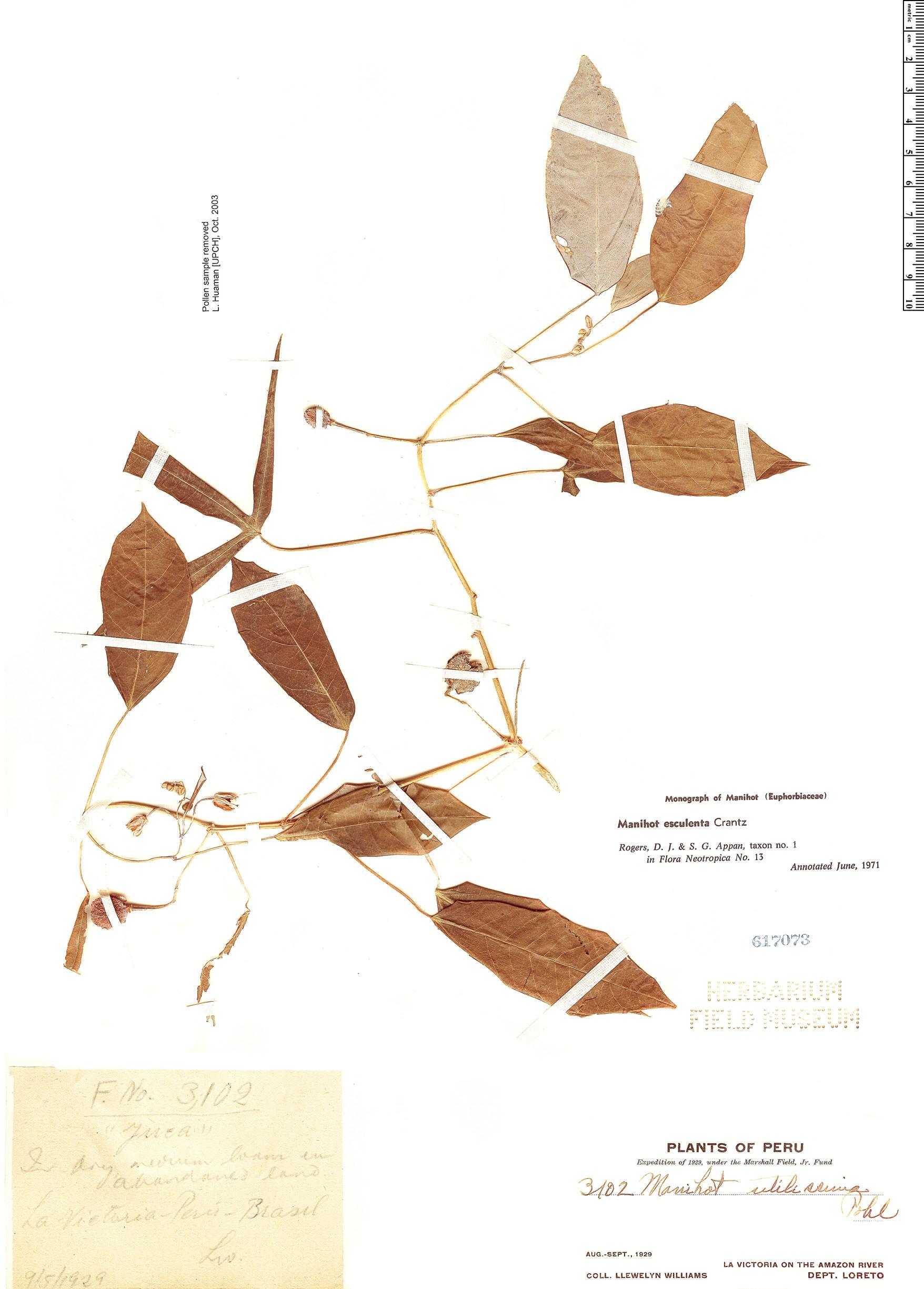 Specimen: Manihot esculenta