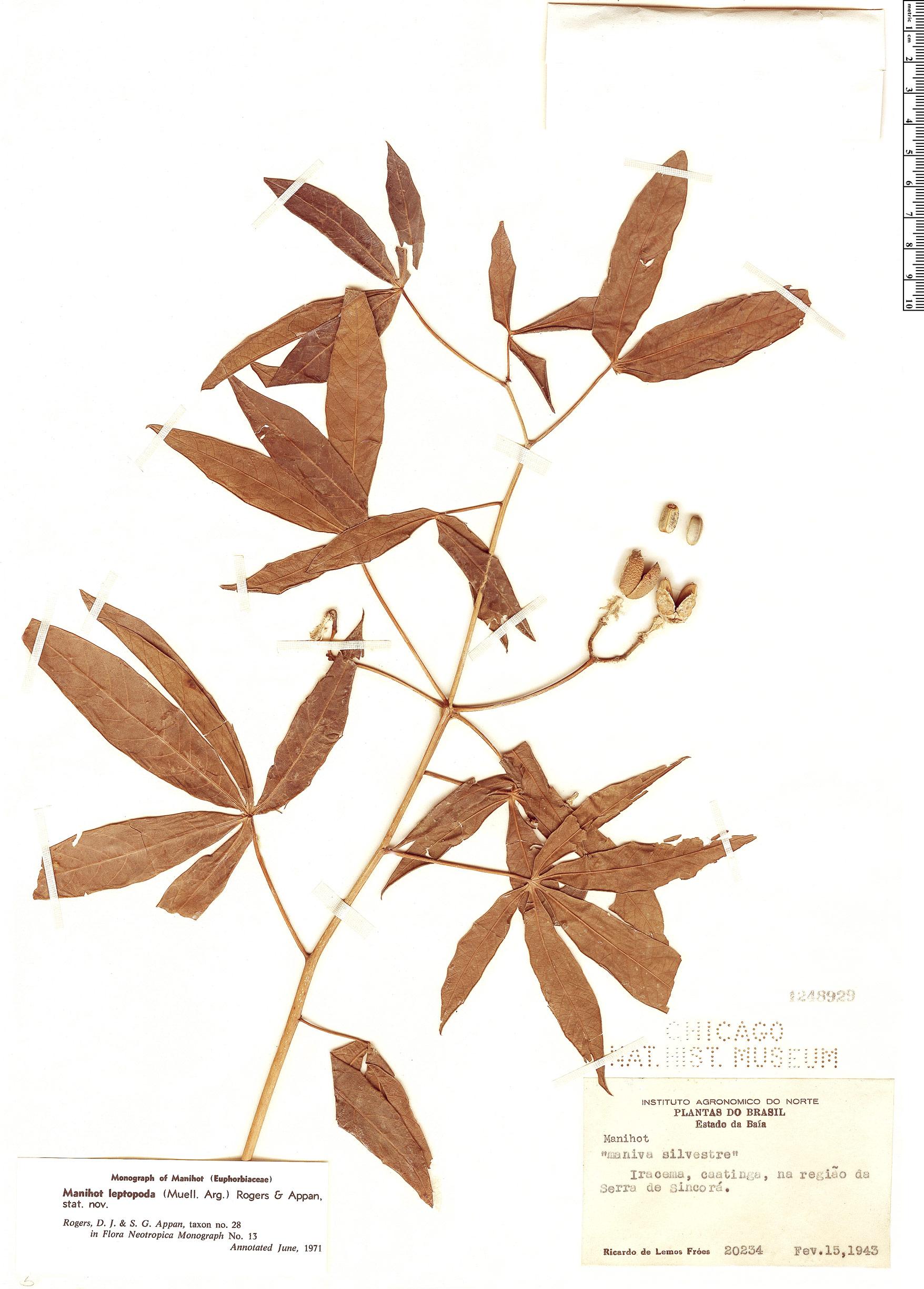Specimen: Manihot leptopoda