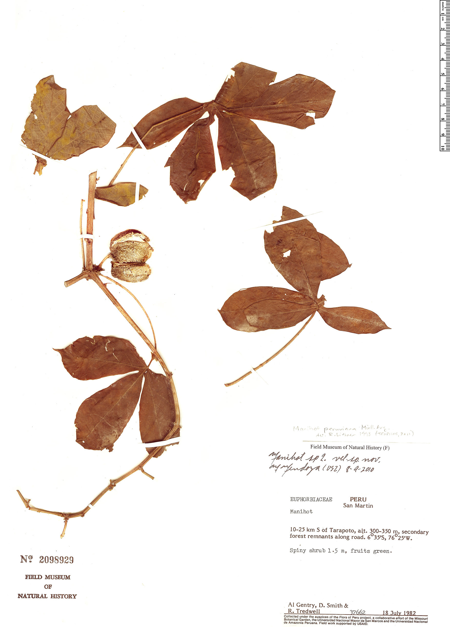 Specimen: Manihot peruviana