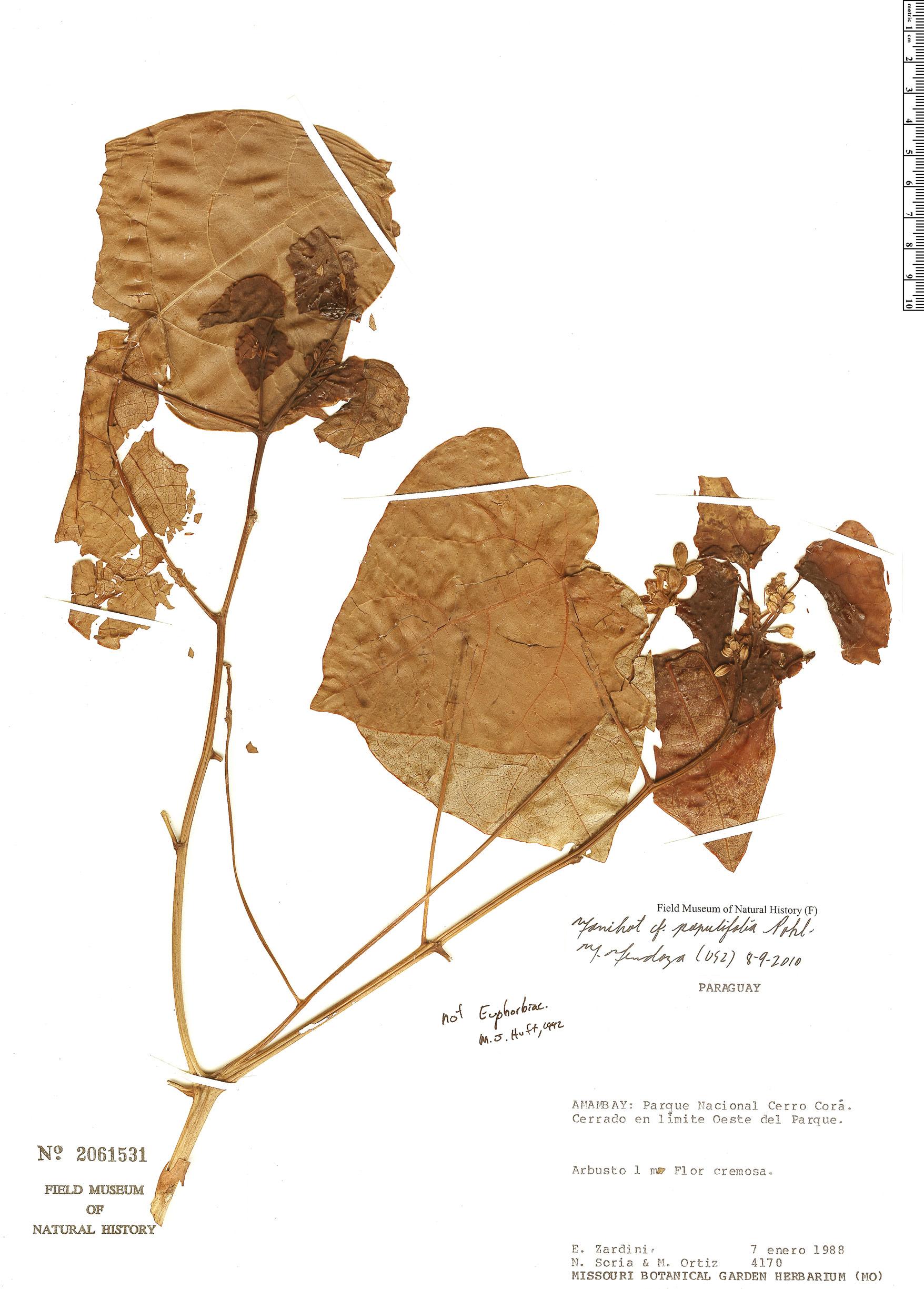 Specimen: Manihot populifolia