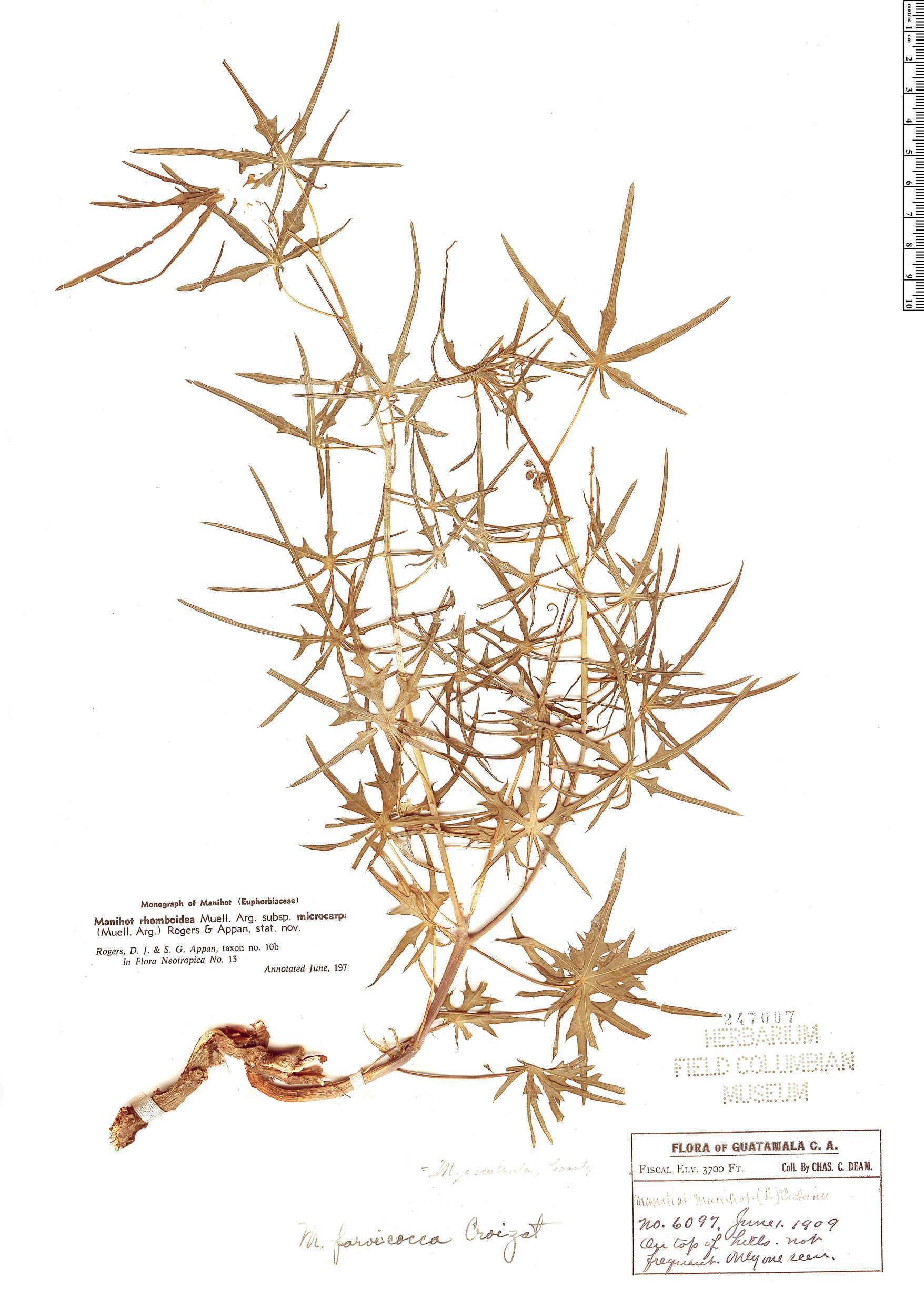Specimen: Manihot rhomboidea