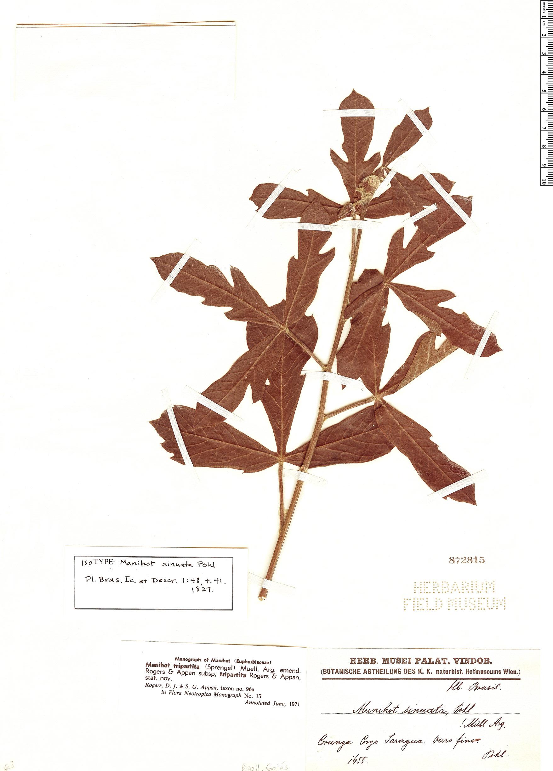 Specimen: Manihot tripartita