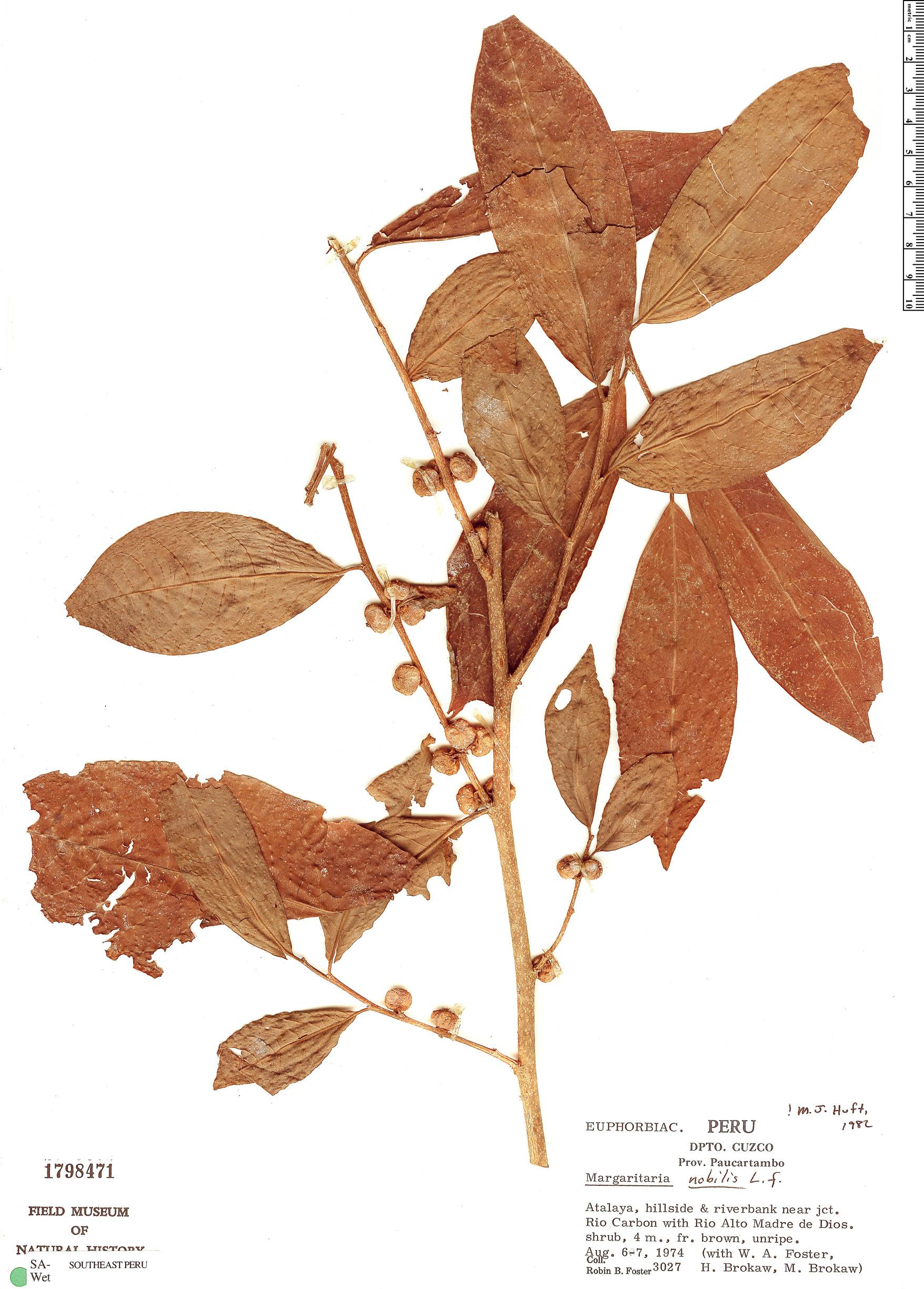 Specimen: Margaritaria nobilis