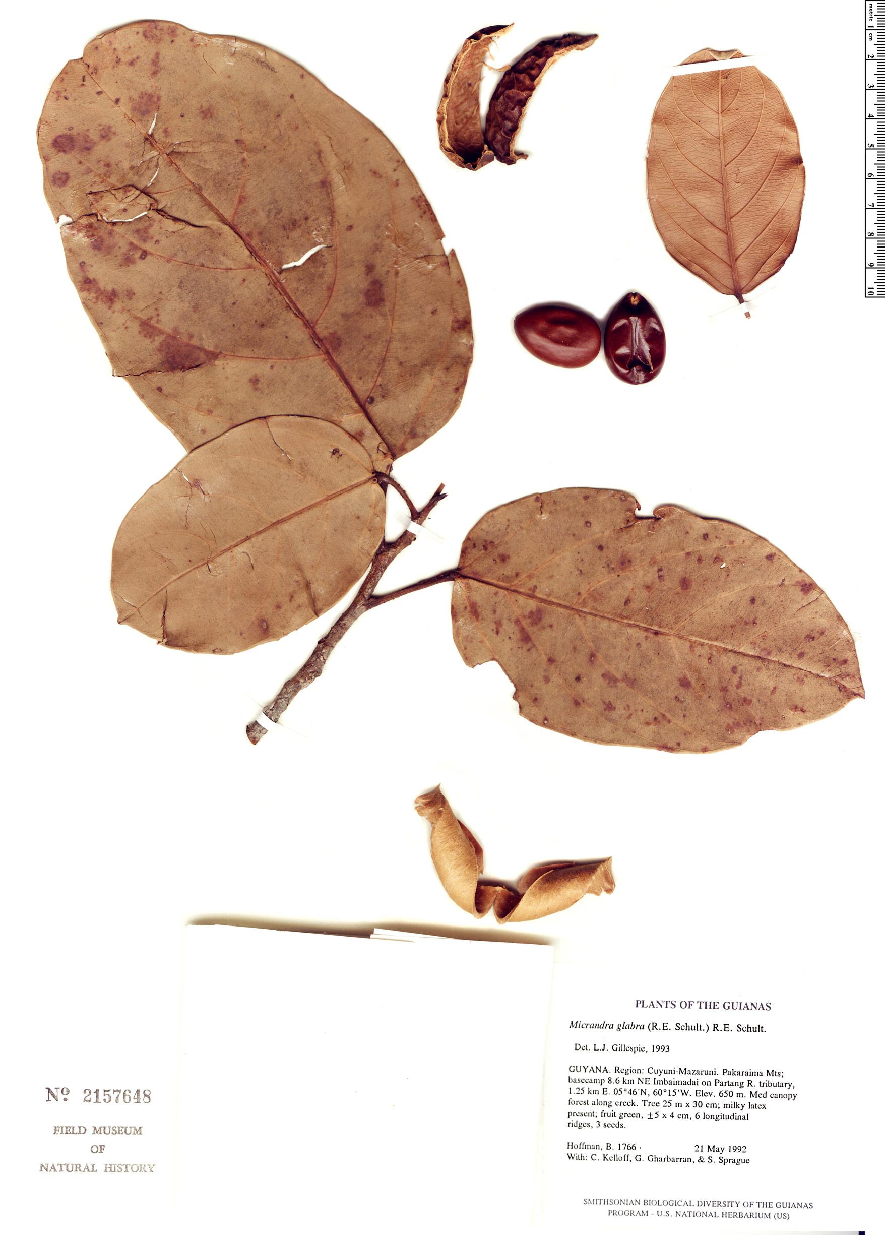 Specimen: Micrandra glabra