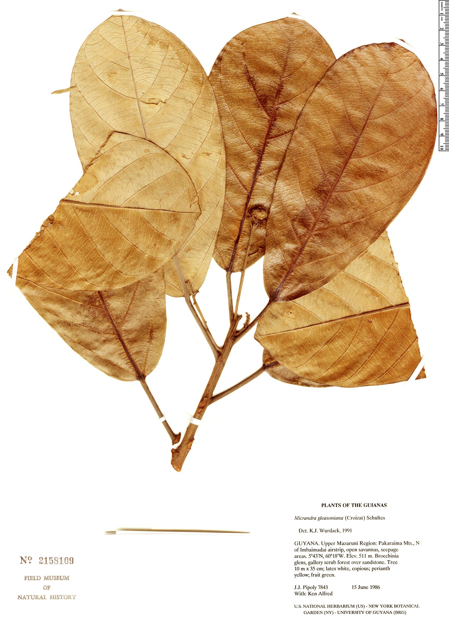 Specimen: Micrandra gleasoniana