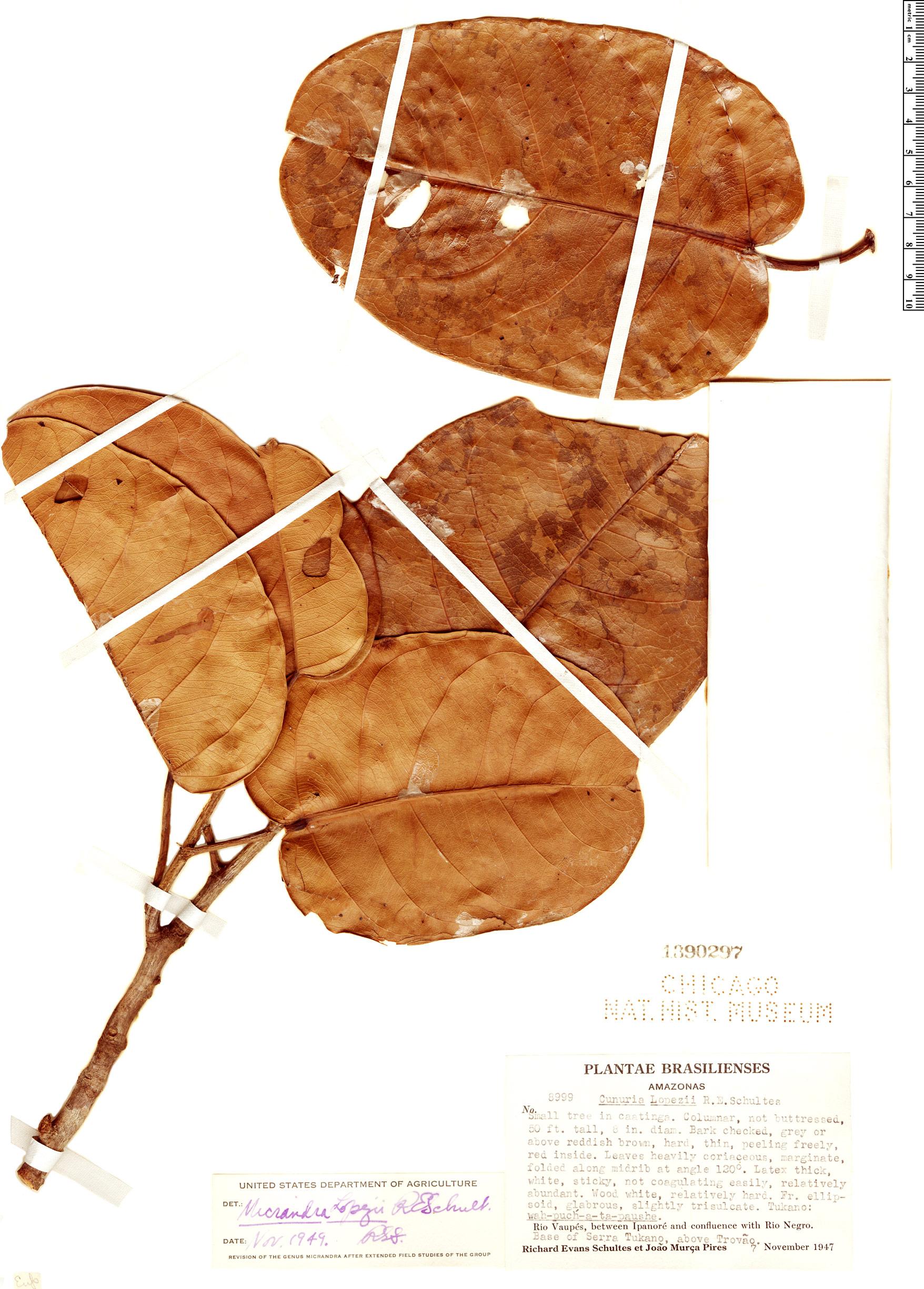 Espécimen: Micrandra lopezii