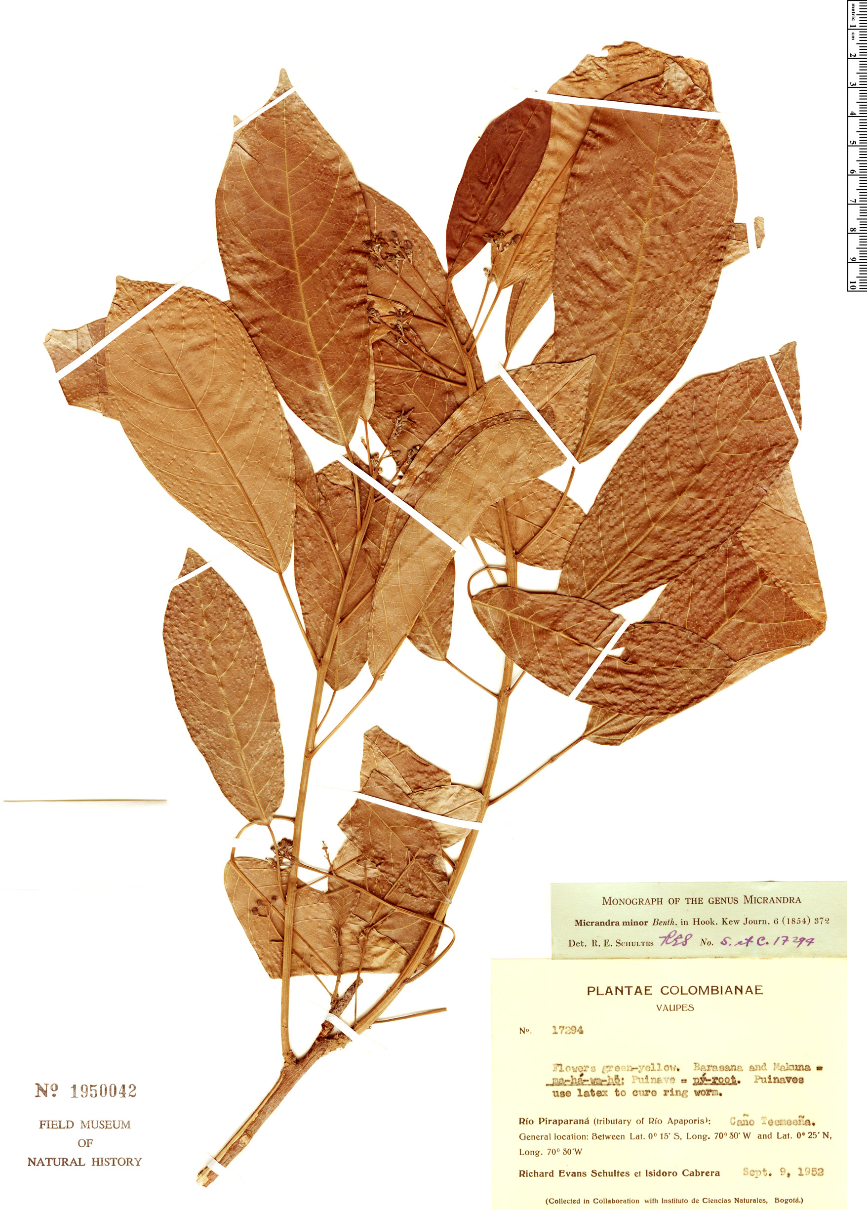 Specimen: Micrandra minor