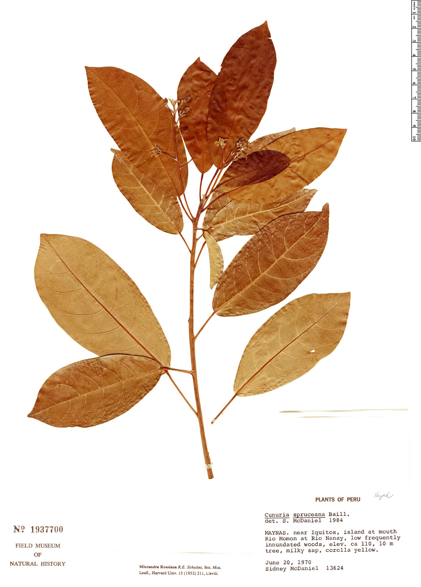 Specimen: Micrandra rossiana