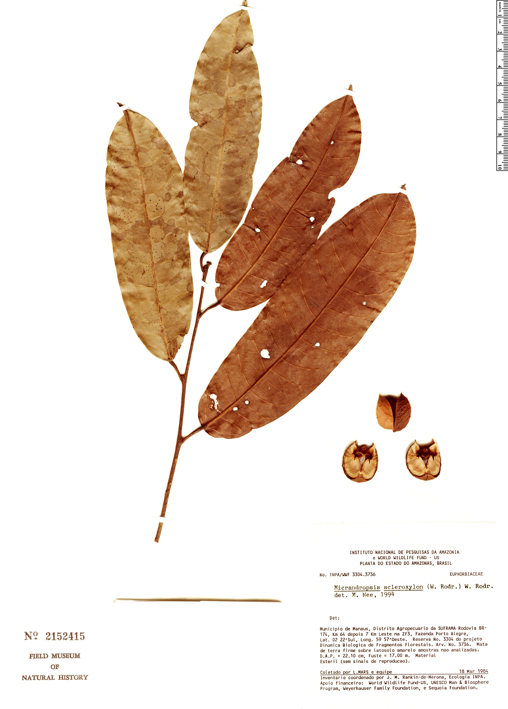 Specimen: Micrandropsis scleroxylon