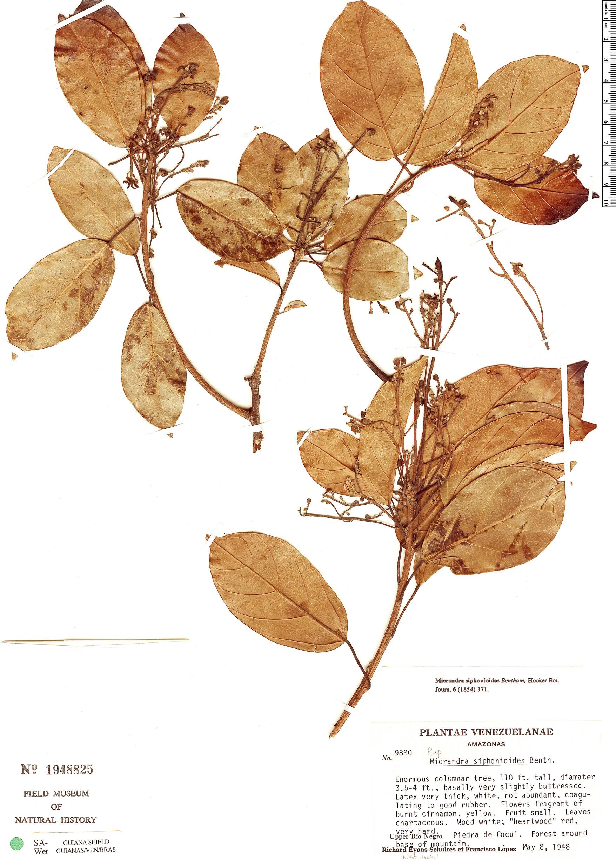 Specimen: Micrandra siphonioides