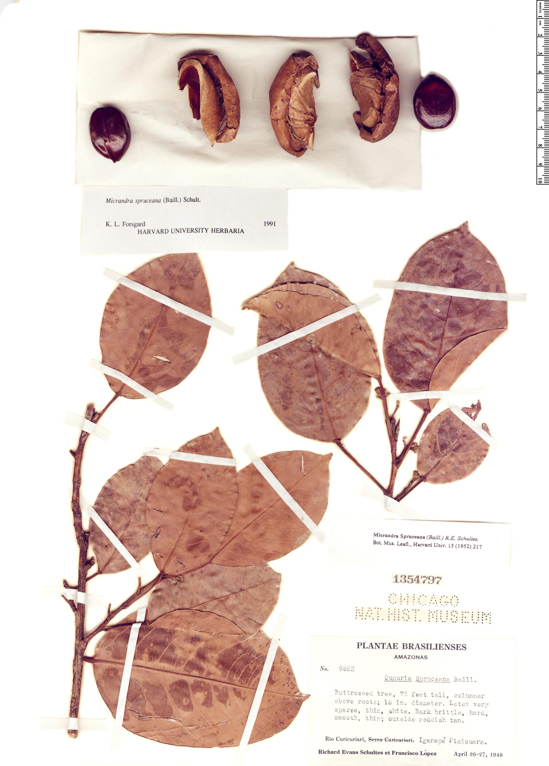 Espécime: Micrandra spruceana