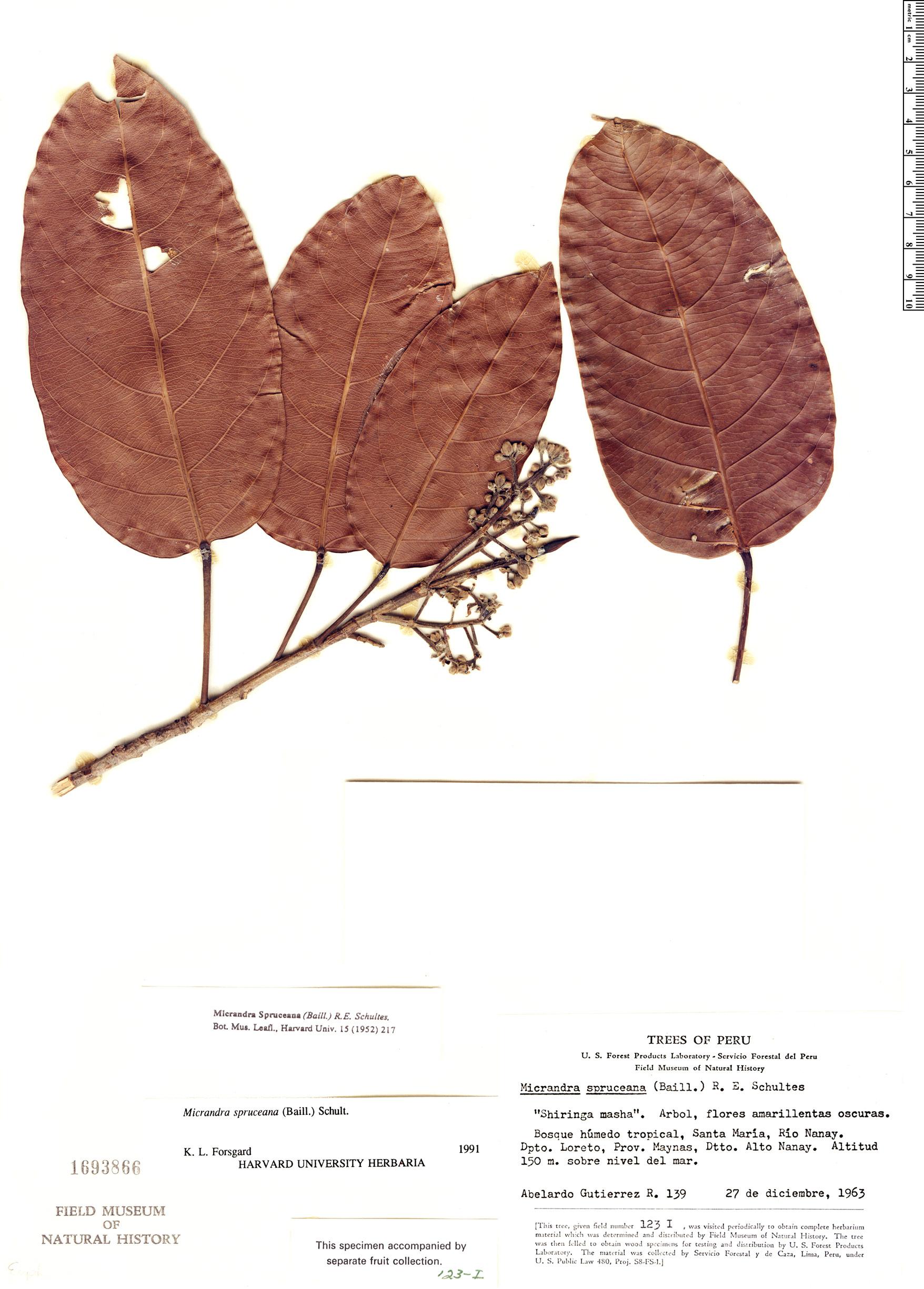 Specimen: Micrandra spruceana