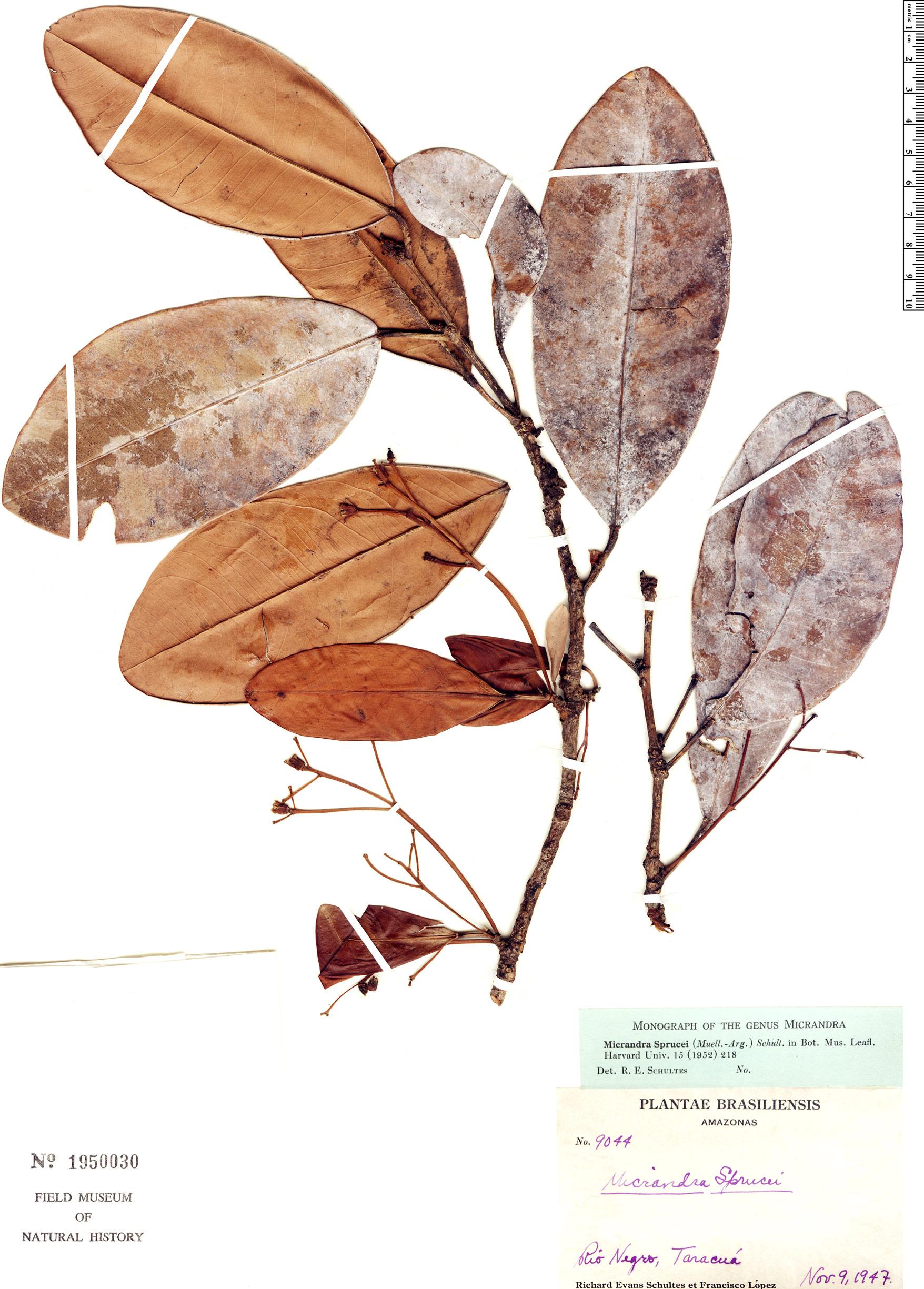 Espécimen: Micrandra sprucei