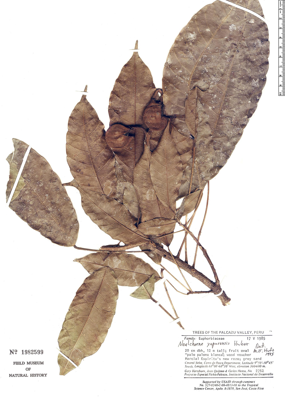 Specimen: Nealchornea yapurensis