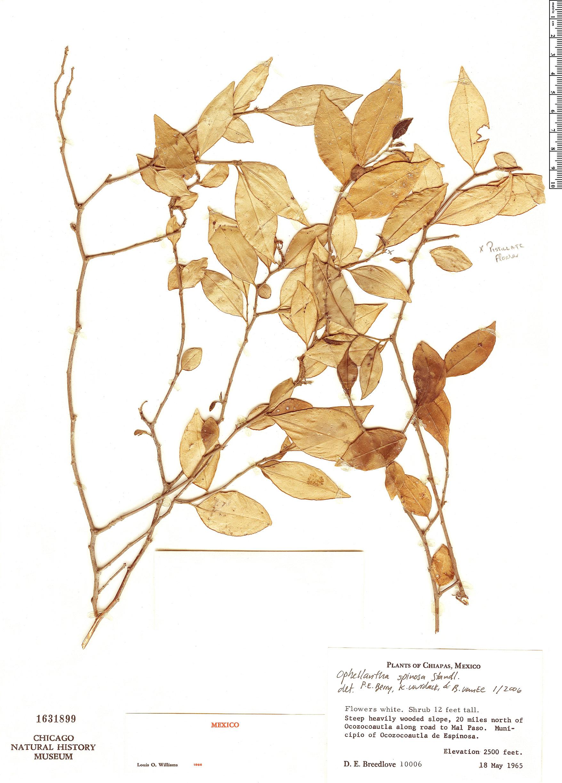 Specimen: Ophellantha spinosa