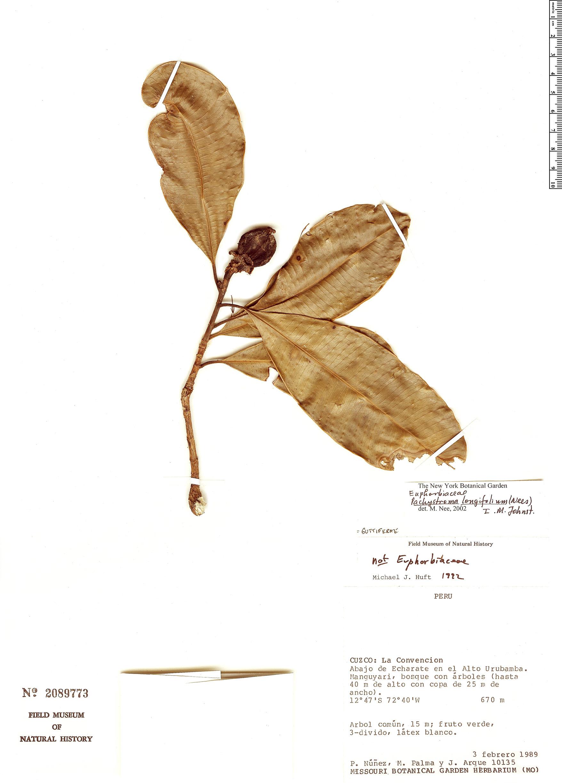 Specimen: Pachystroma longifolium