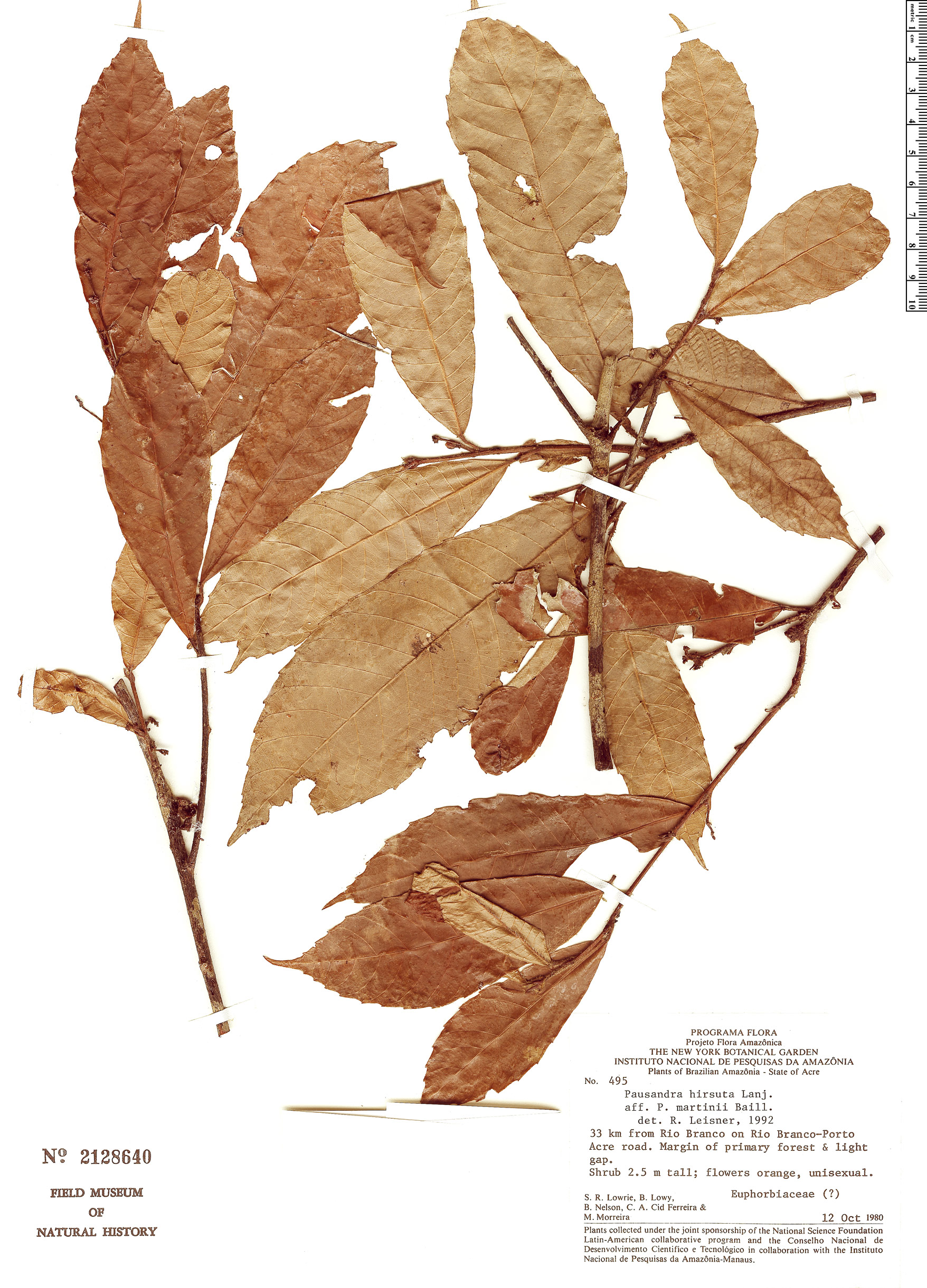 Specimen: Pausandra hirsuta
