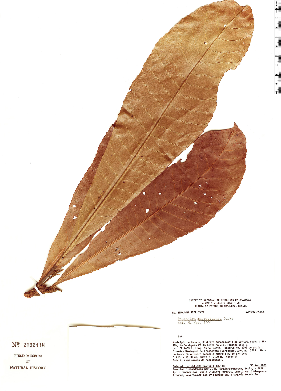 Specimen: Pausandra macrostachya