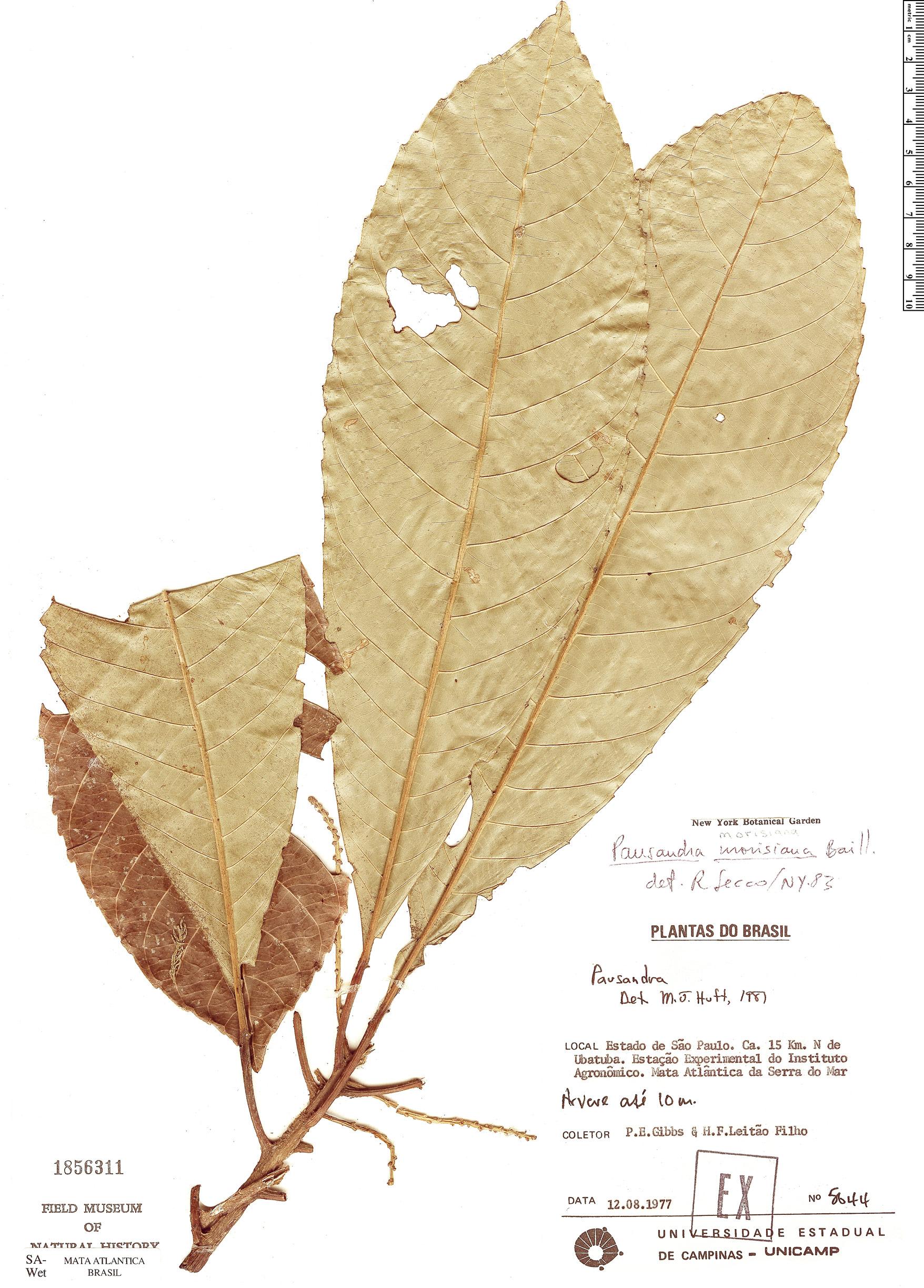 Specimen: Pausandra morisiana
