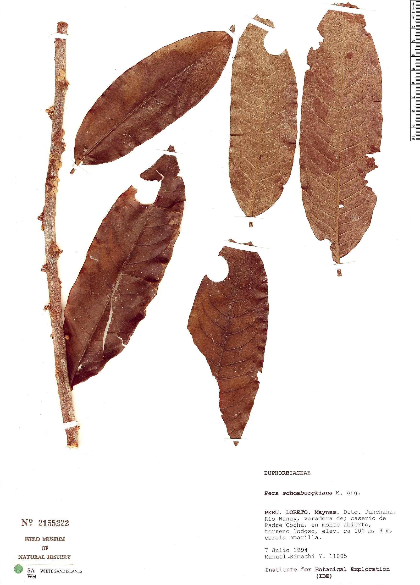 Specimen: Pera bicolor