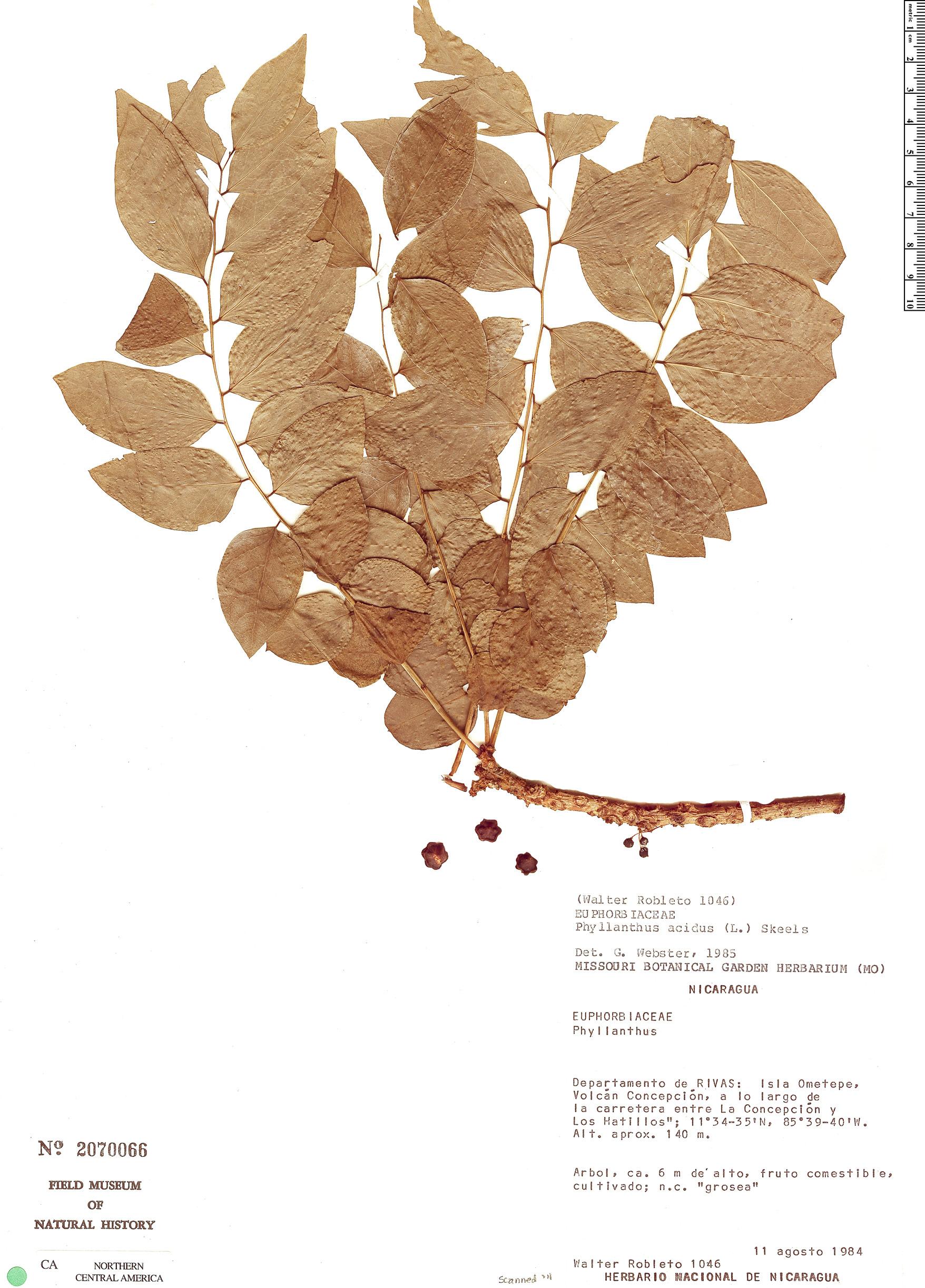 Specimen: Phyllanthus acidus